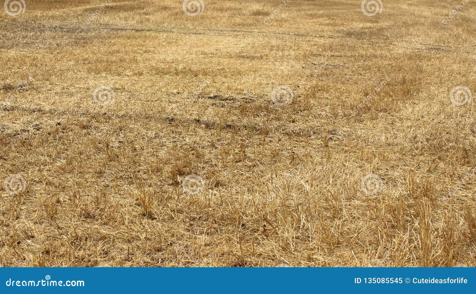 Gele gebieden van tarwe na oogst