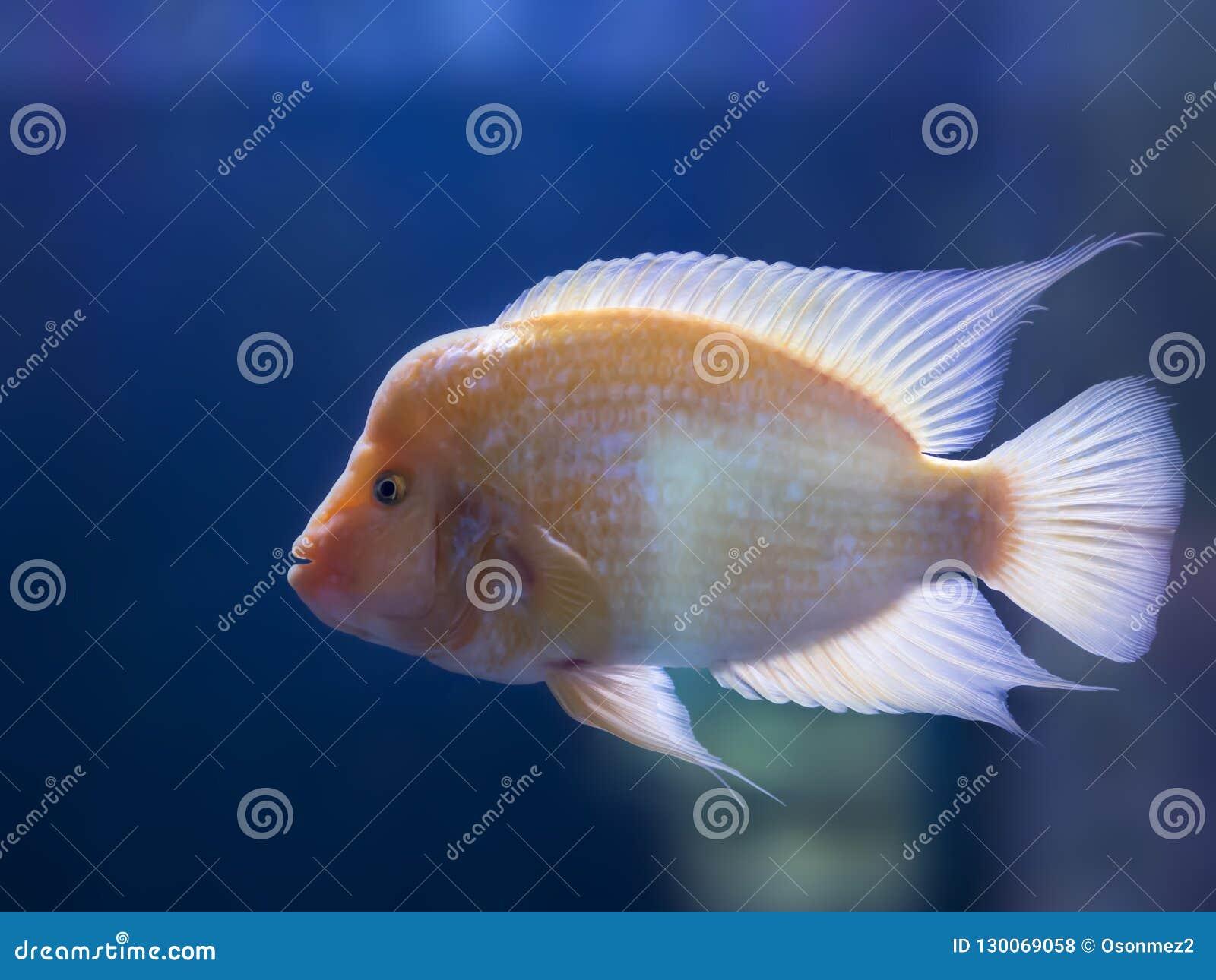 Gele gekleurde tropische goudvis die zich in aquarium bevindt