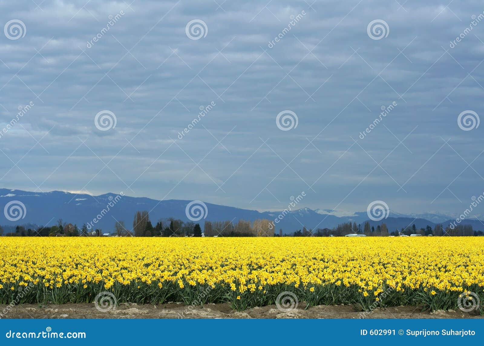 Gele Gele narcissen