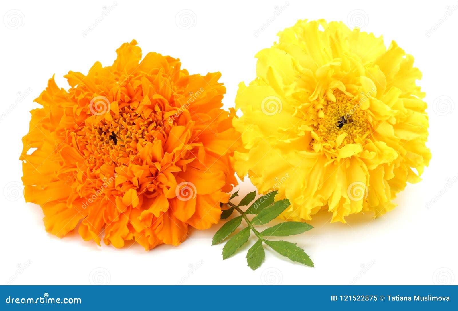 Gele Goudsbloembloem, Tagetes-erecta, Mexicaanse goudsbloem, Azteekse goudsbloem, Afrikaanse die goudsbloem op witte achtergrond