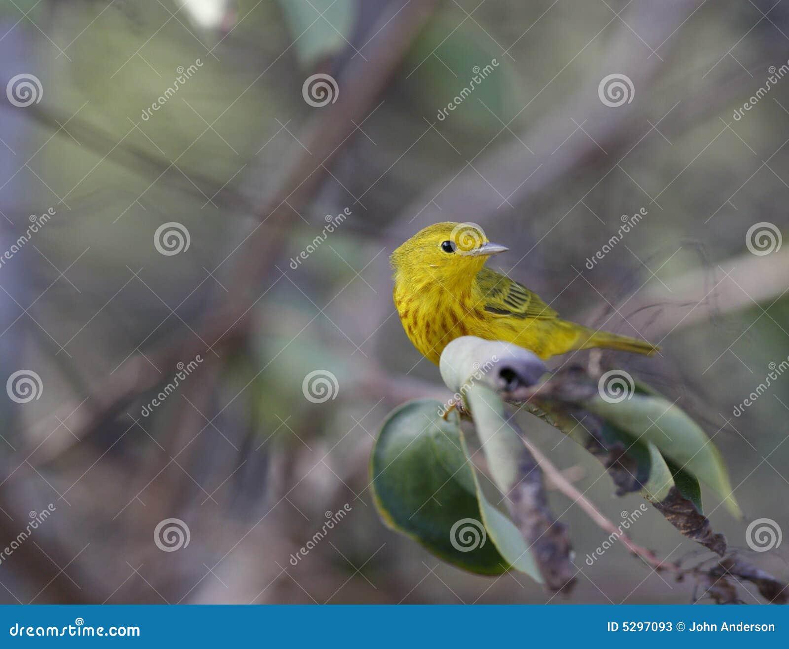 Gele Grasmus (petectia Dentroica)