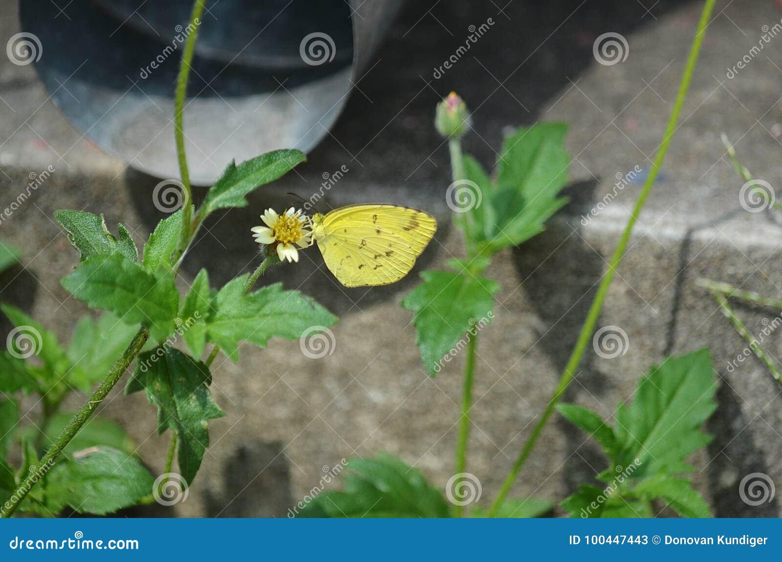 Gele Grasvlinder op Wit en Geel Shaggy Soldier wildflower in Thailand