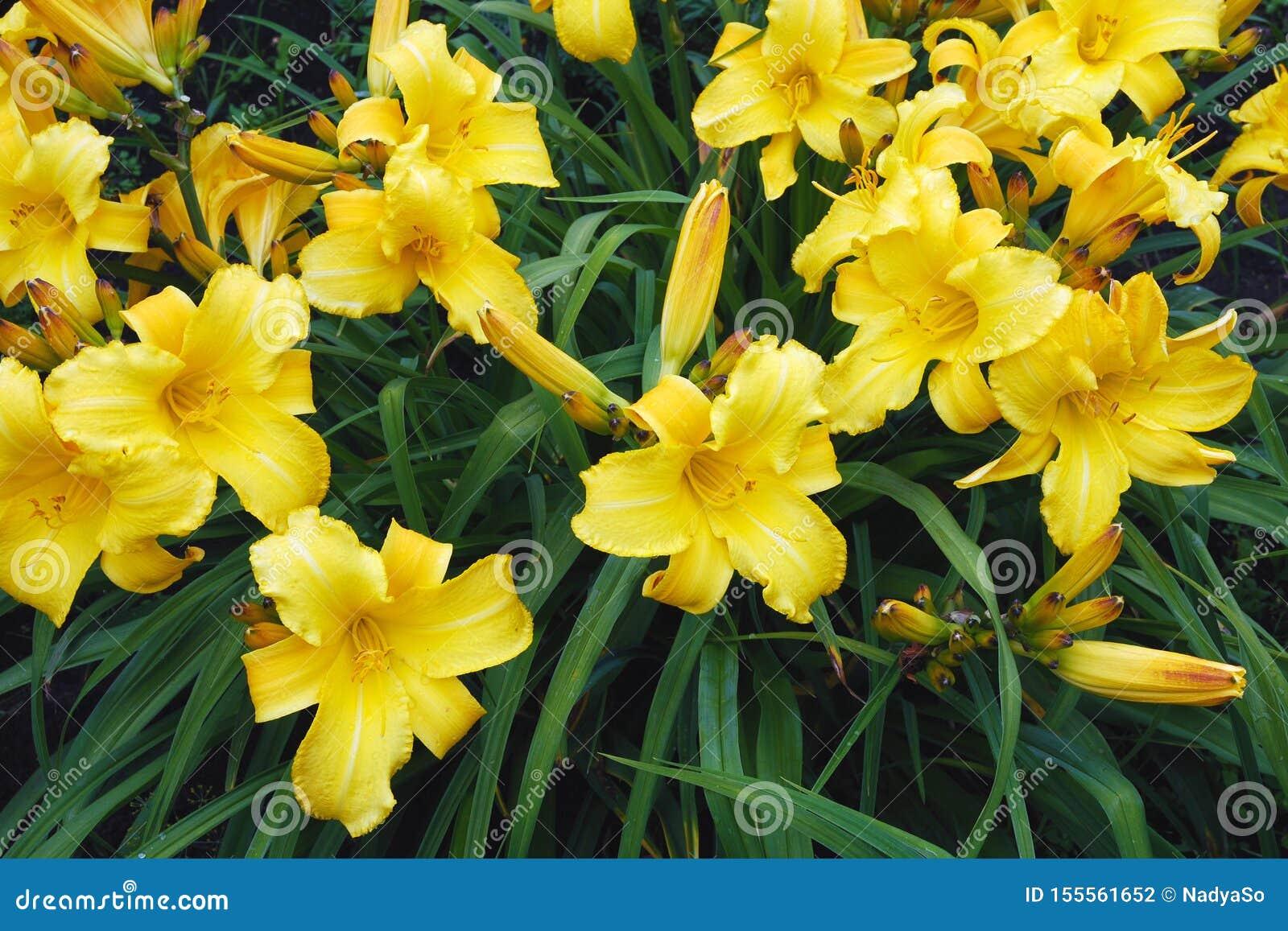 Gele Hemerocallis, de bloemen van Dumortieri Morr daylily