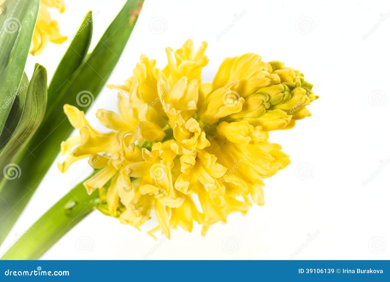 Gele hyacint
