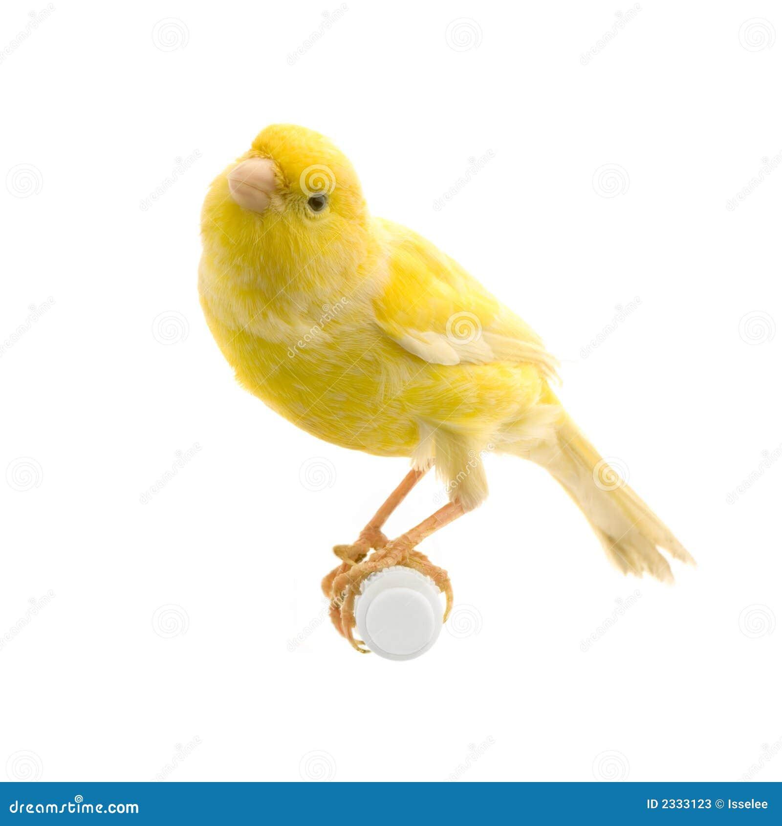 Gele kanarie op zijn toppositie