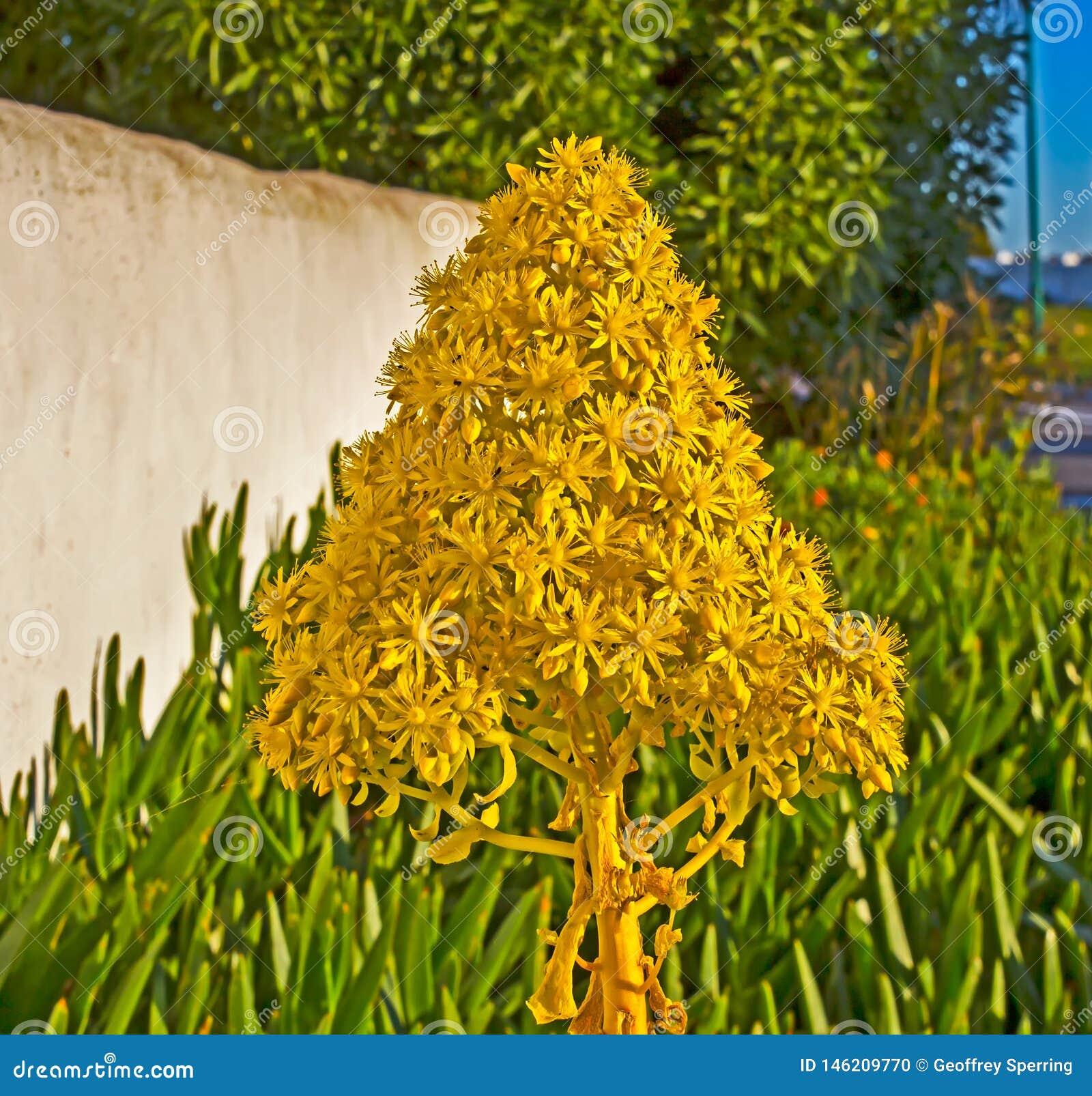 Gele kegelbloem van Boom Houseleek
