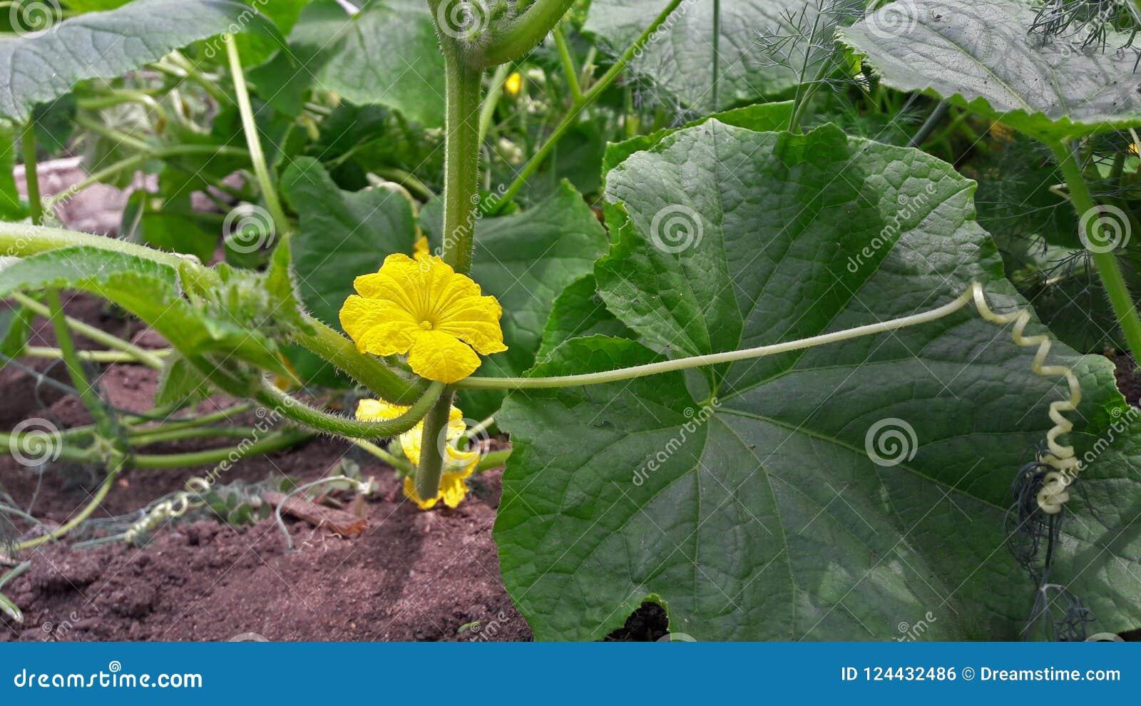 Gele komkommerbloem in een tuin