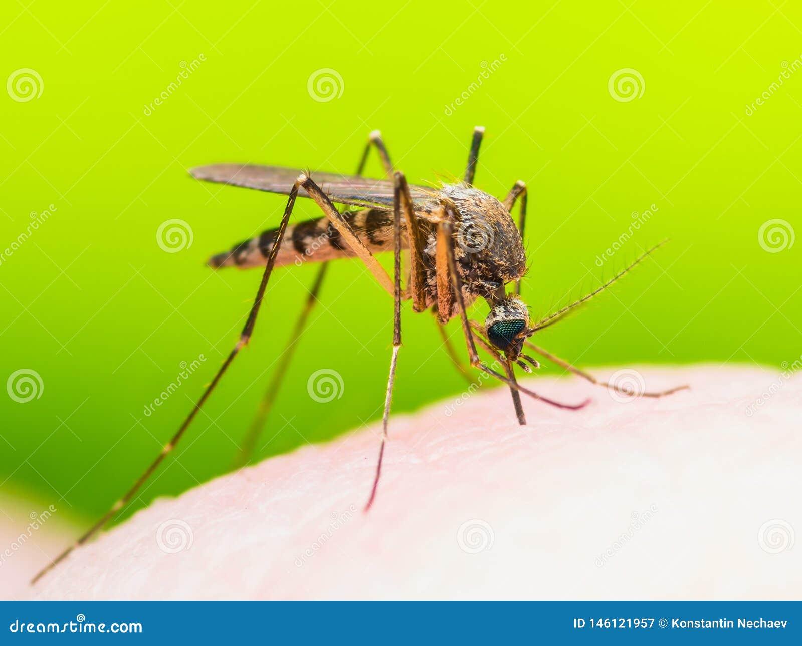 Gele koorts, Malaria of Macro van het de Muginsect van Zika de Virus Besmette op Groene Achtergrond