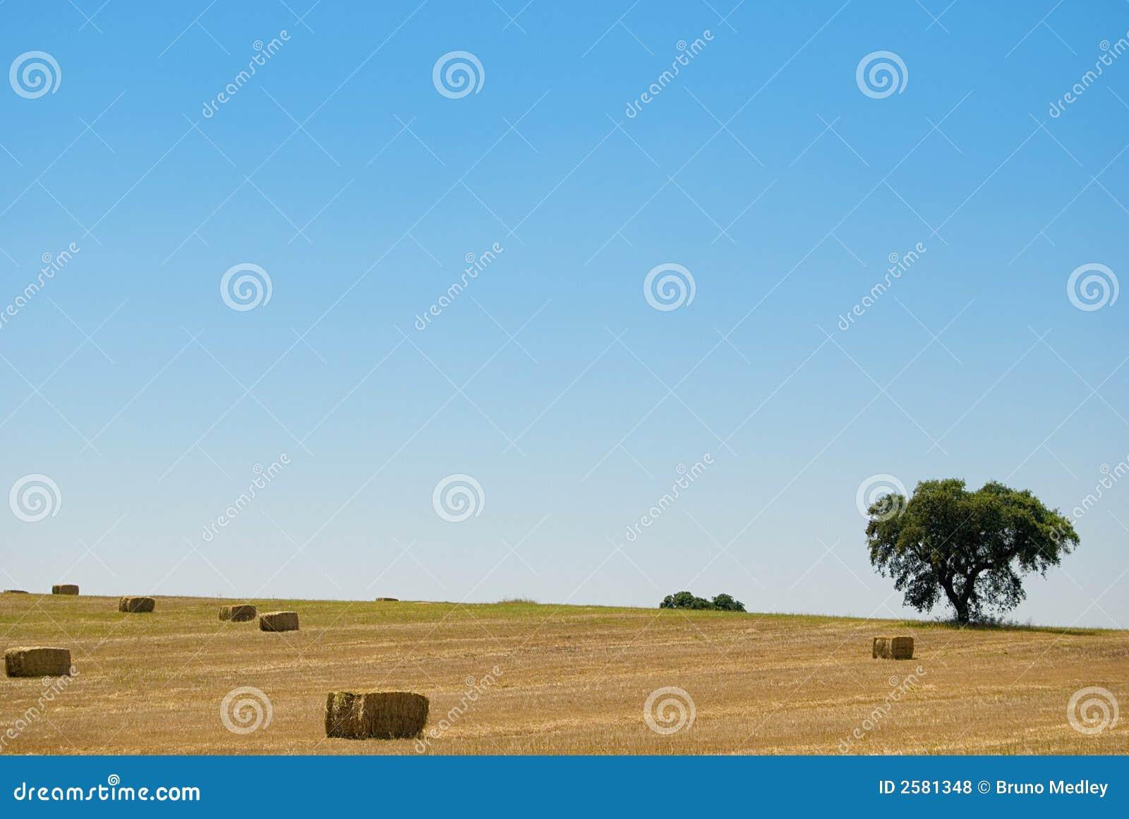 Gele korrel klaar voor oogst