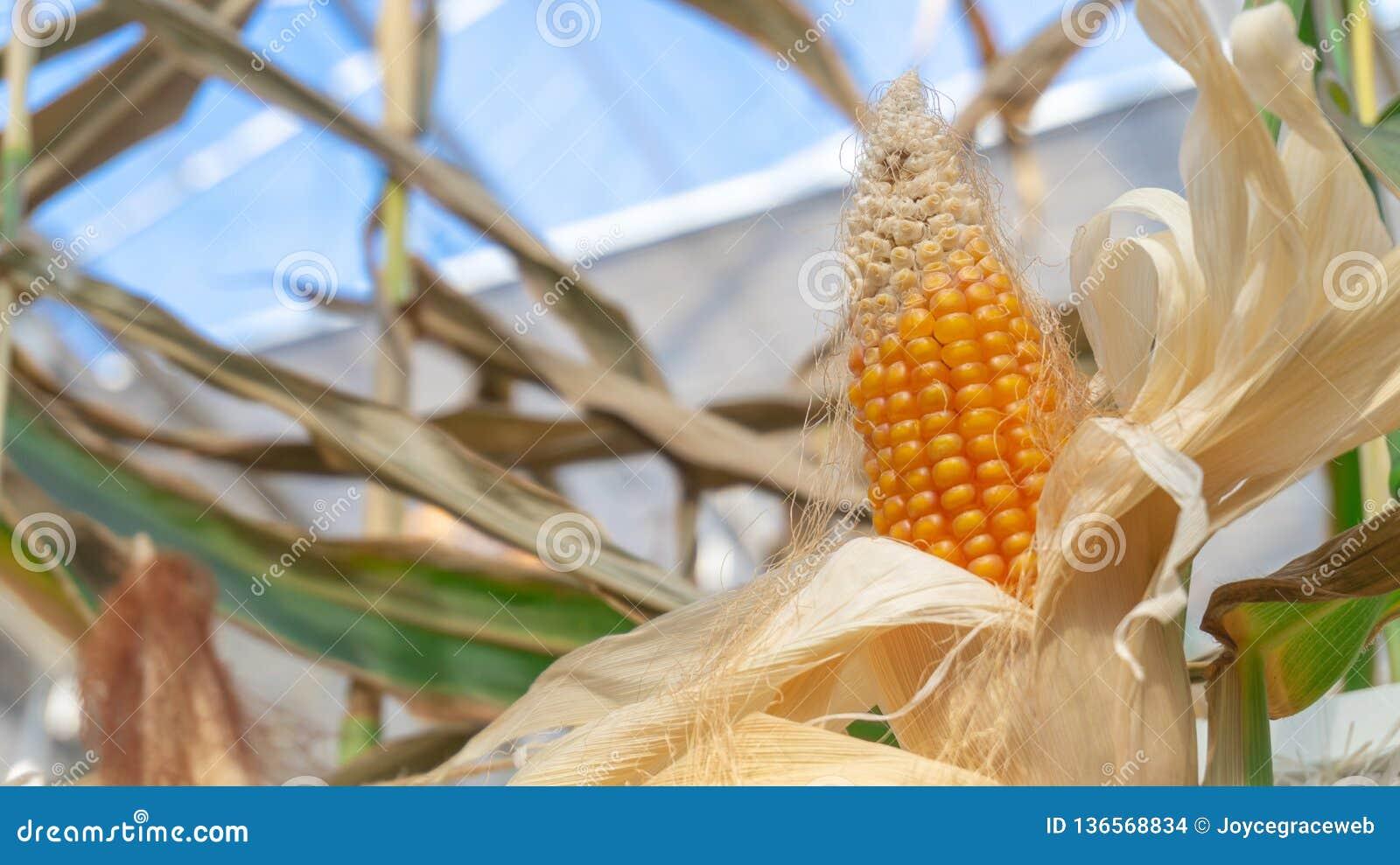 Gele maïskolf op een graansteel, binnen, met droge witte schillen