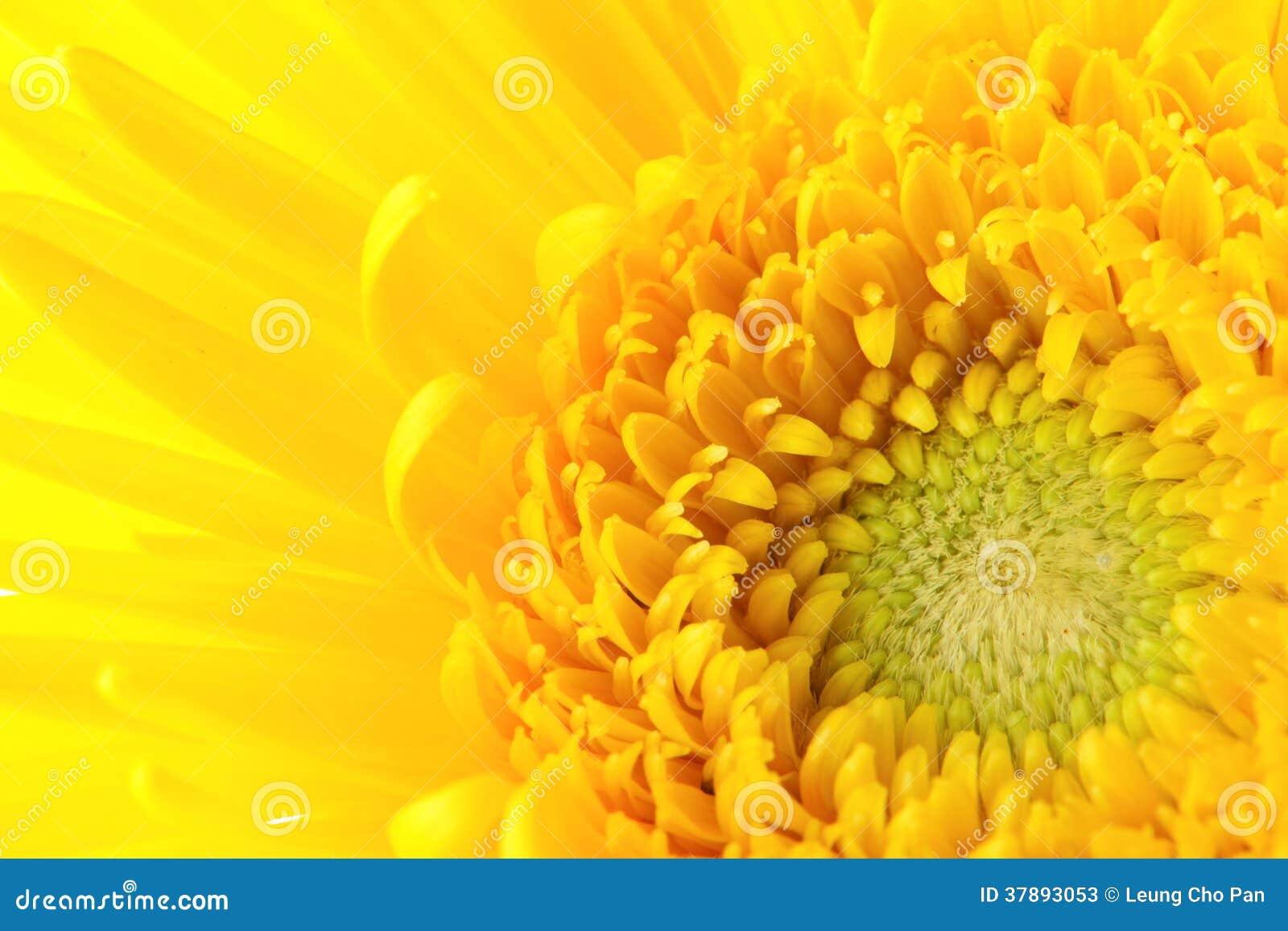 Gele madeliefje dichte omhooggaand