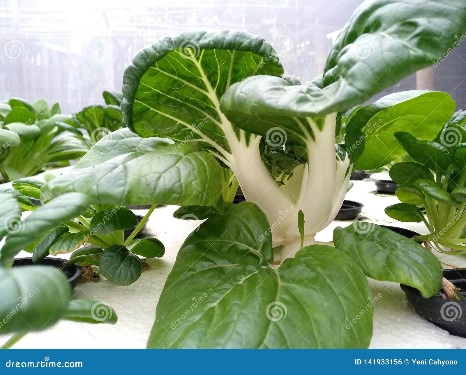 Gele mosterdgroenten in hydroponic systemen