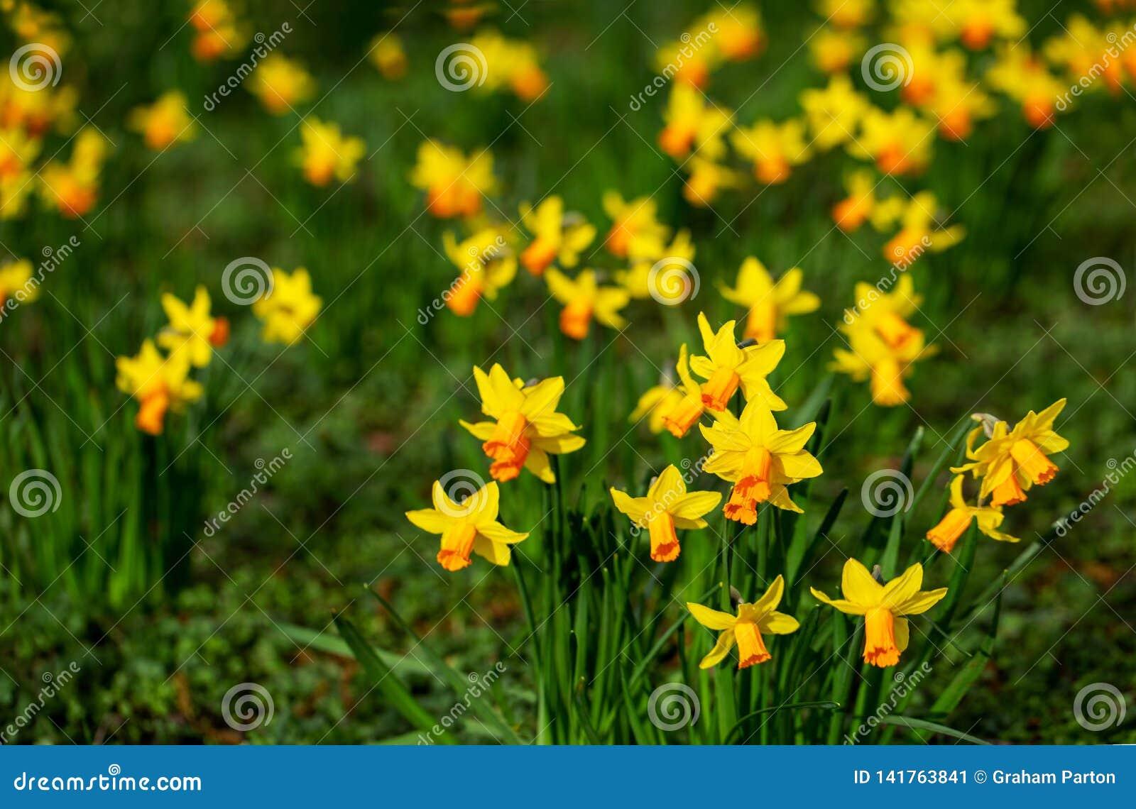 Gele gele narcissen in bloei bij de lente op een heldere zonnige dag