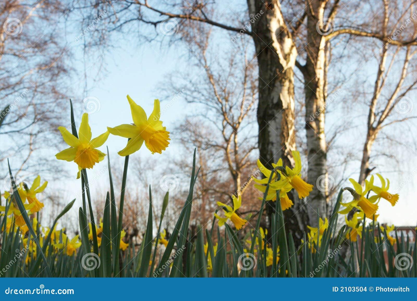 Gele narcissen en naakte bomen