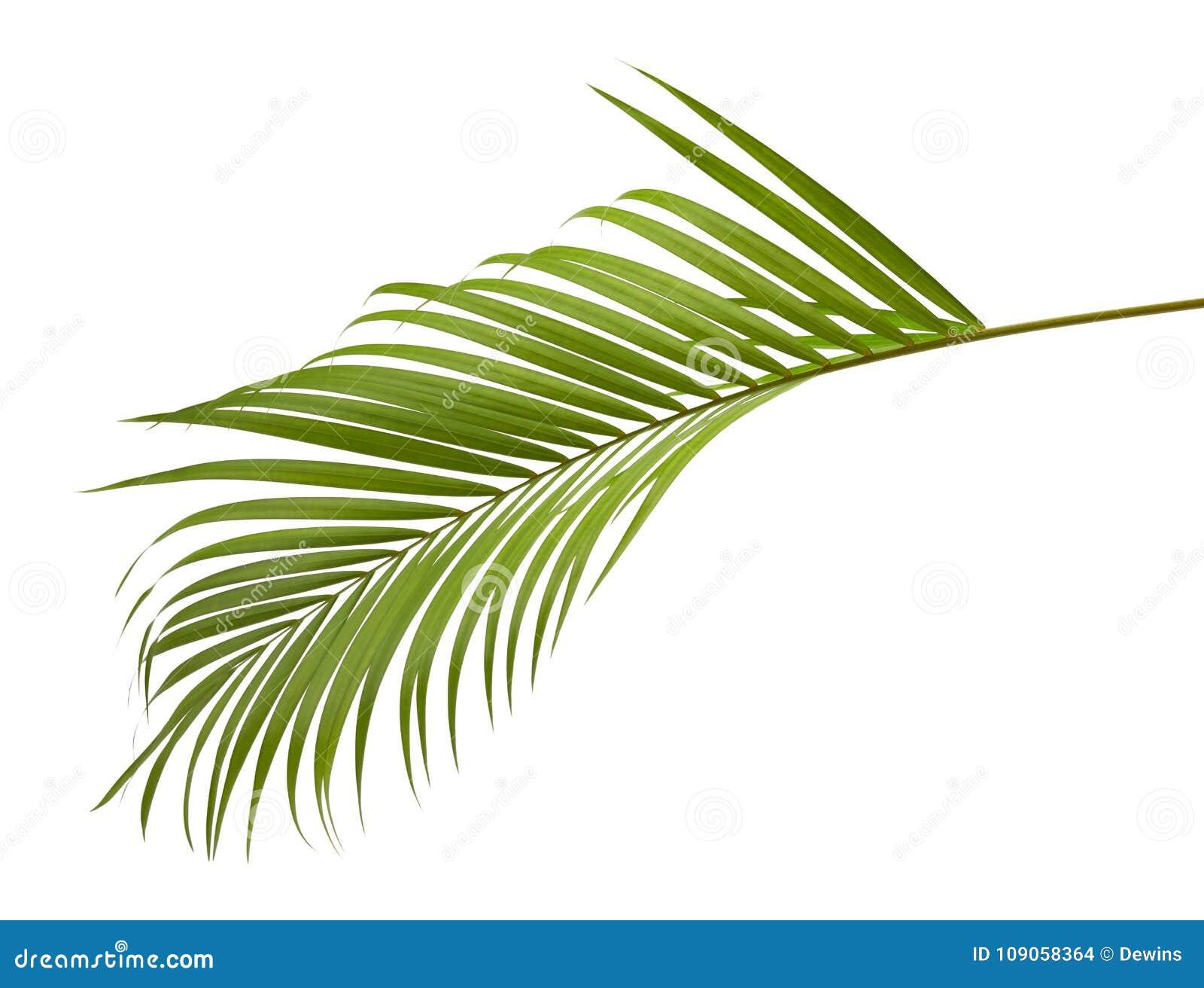 Gele palmbladen Dypsis lutescens of Gouden rietpalm, Areca palmbladen, Tropisch die gebladerte op witte achtergrond met c wordt g