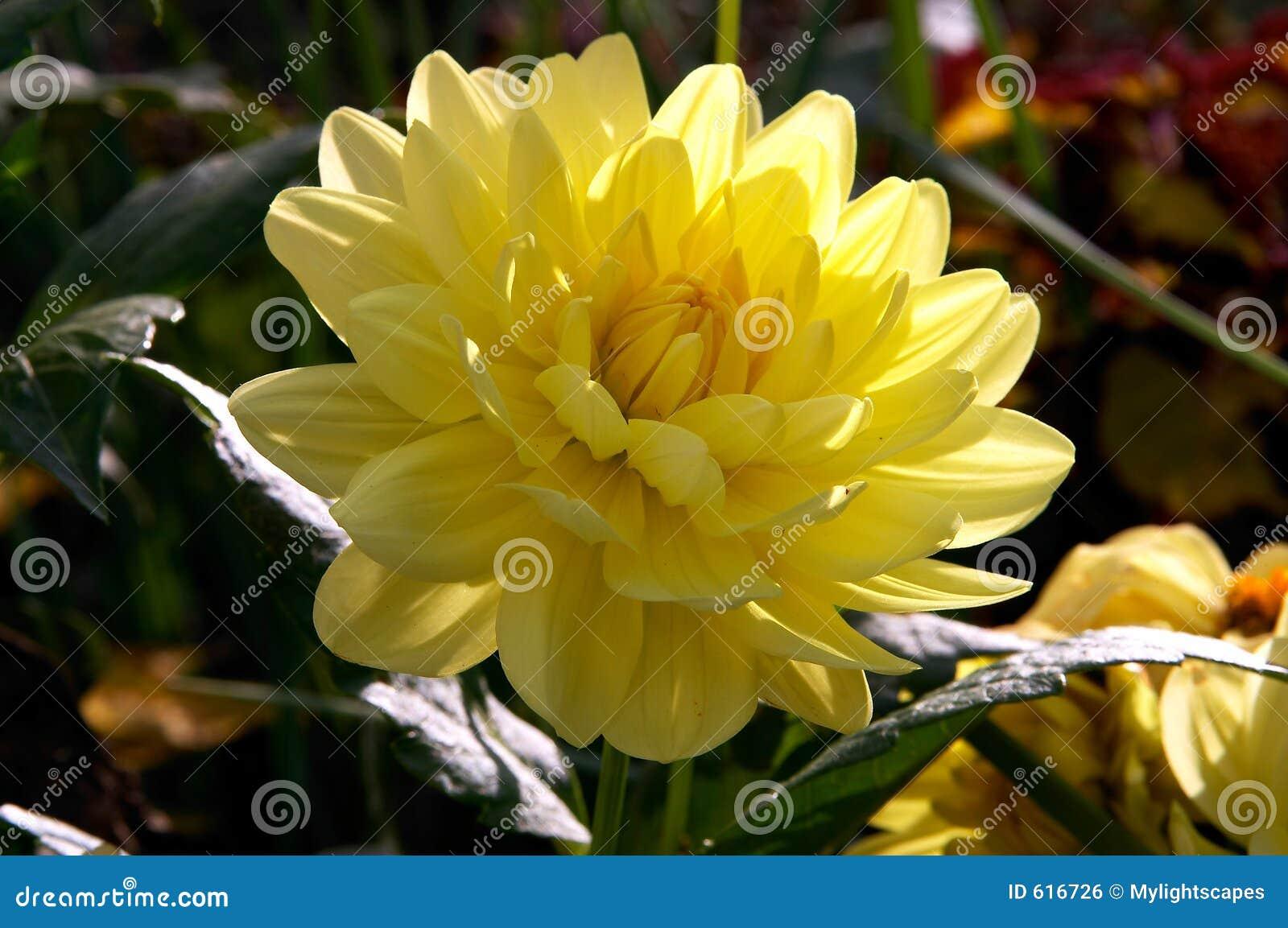 Gele pioenbloem