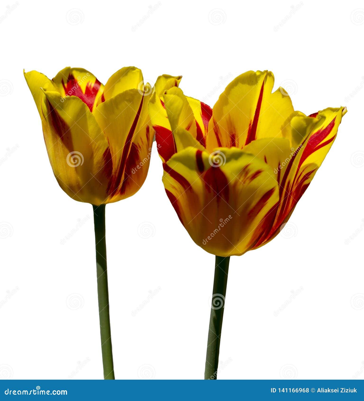 Gele rode tulpen op een witte achtergrond Geïsoleerde