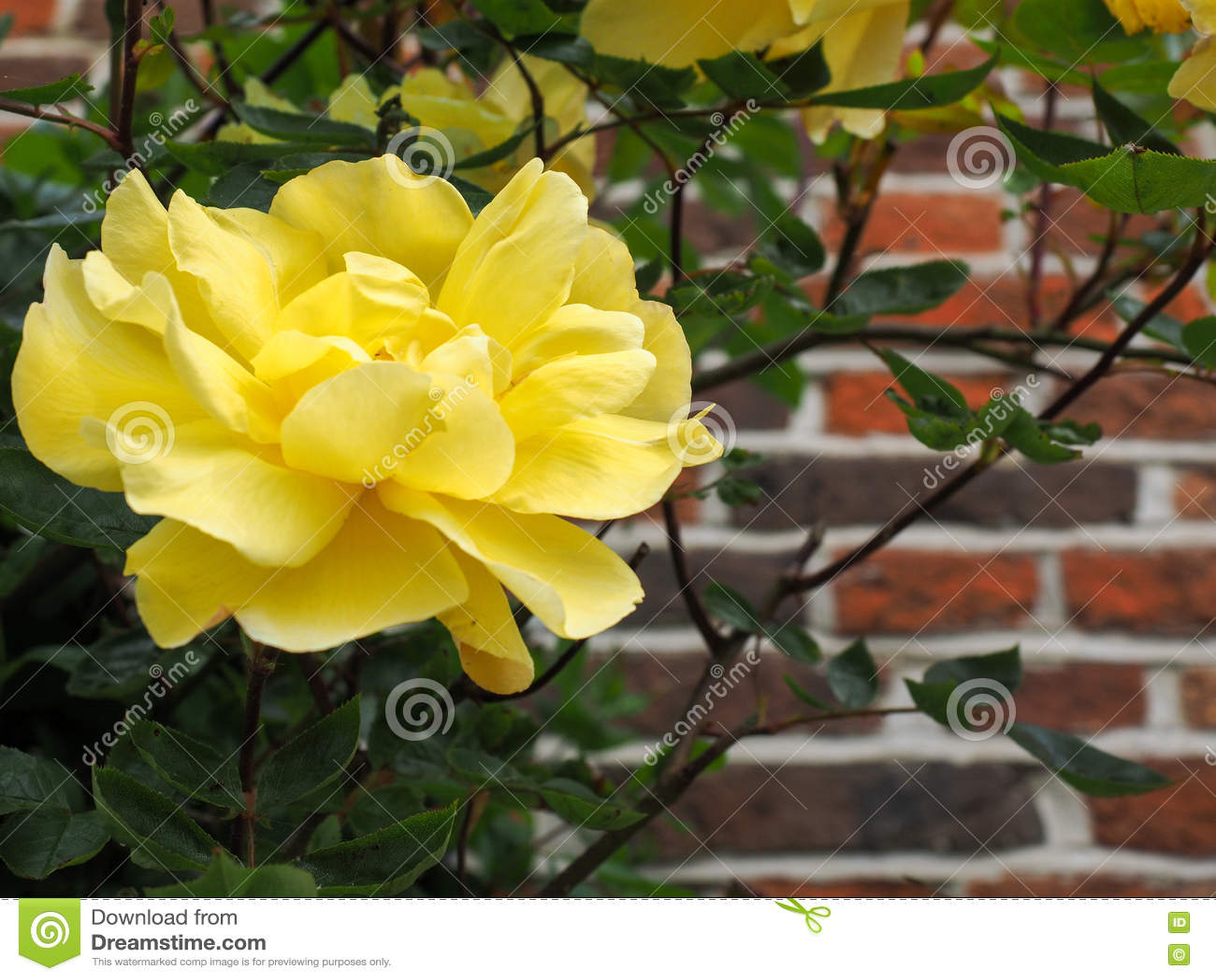 Gele Rose Flowering tegen een Muur in Southwold