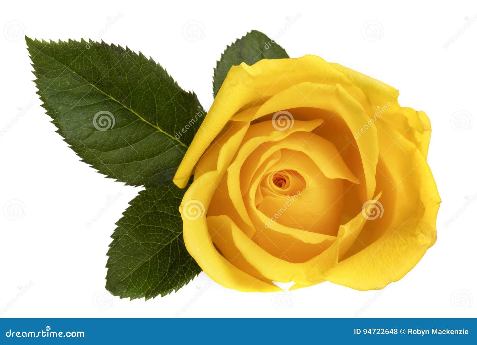 Gele Rose Isolated op Witte Hoogste Mening