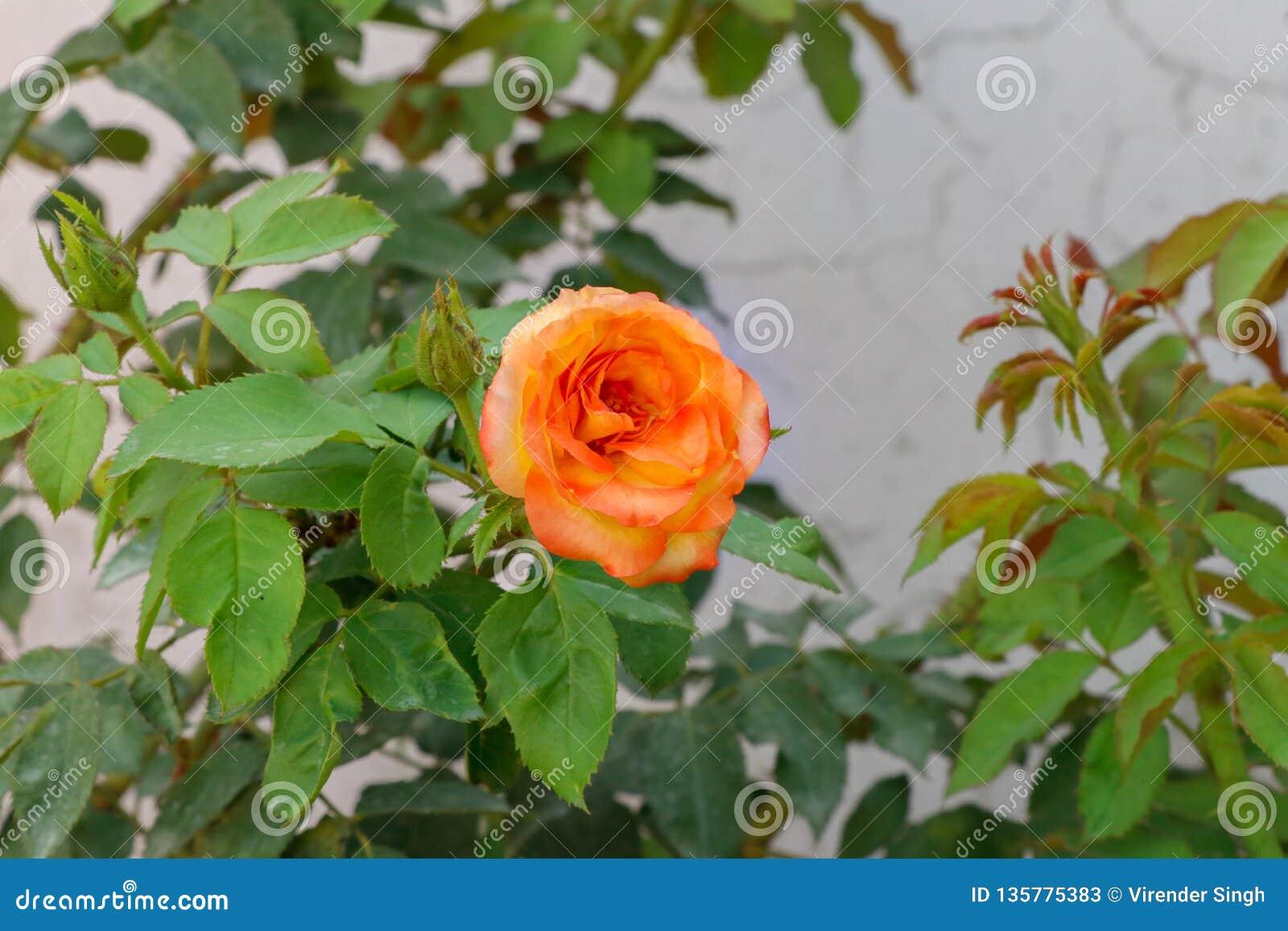 Gele roze rozen die in de tuin bloeien
