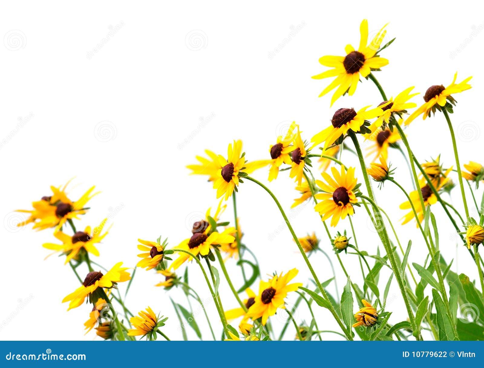 Gele rudbeckia