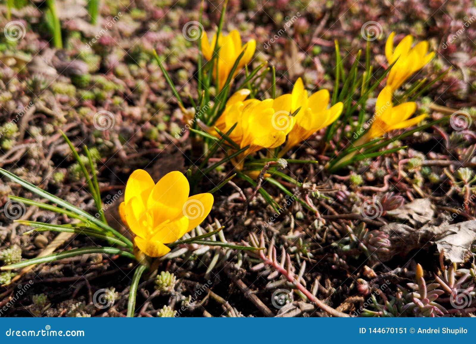 Gele sneeuwklokjebloemen ter plaatse in het park