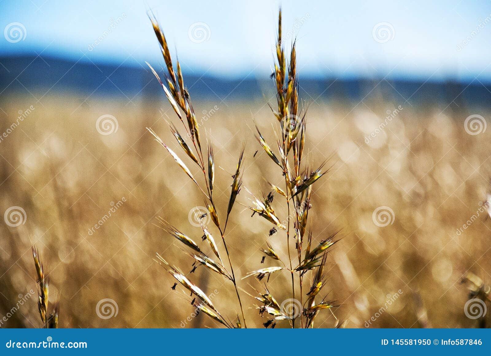 Gele tarwe in de zomer