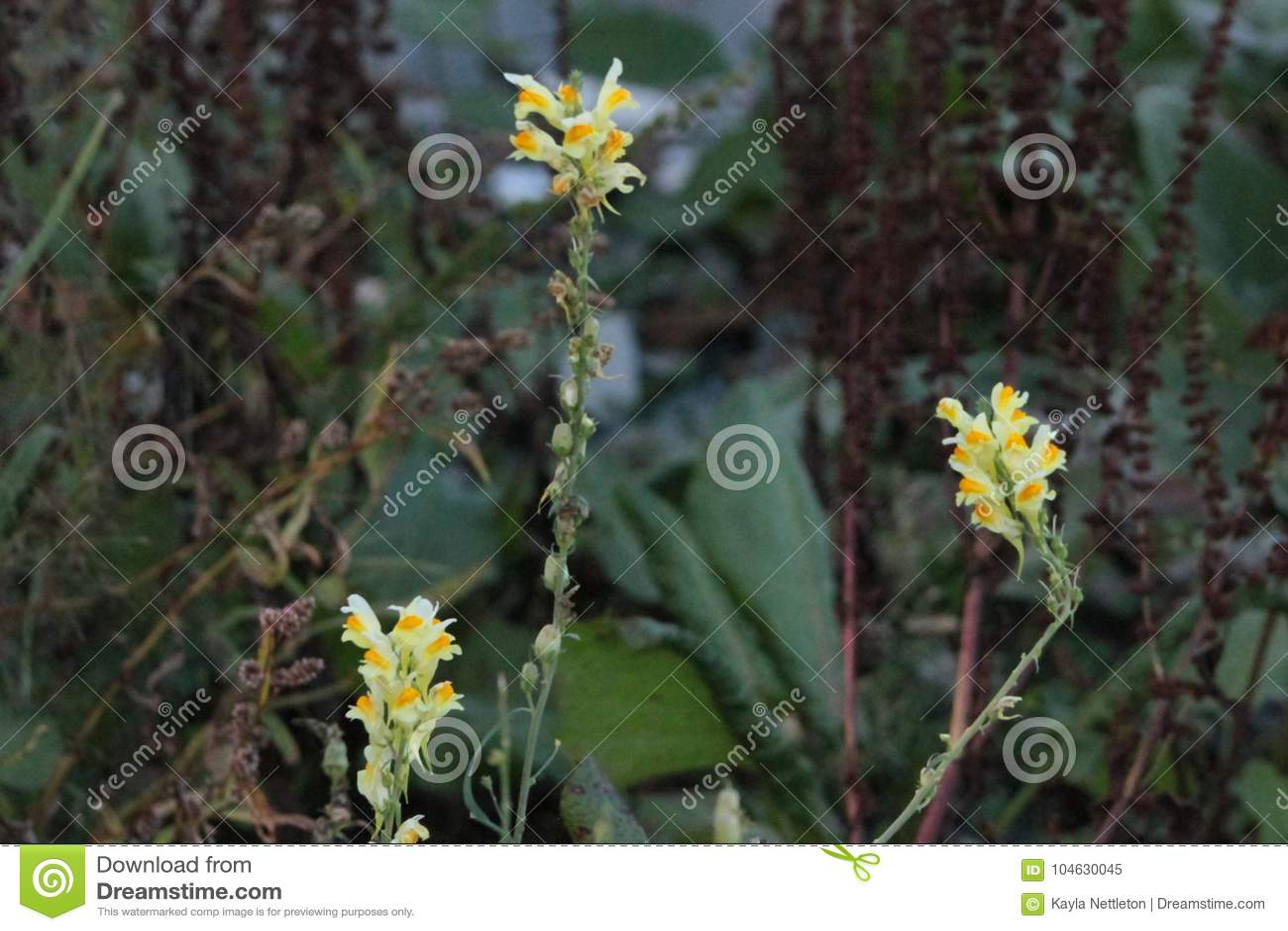 Download Gele Toadflax In De Zomerhitte Stock Afbeelding - Afbeelding bestaande uit zwart, installaties: 104630045
