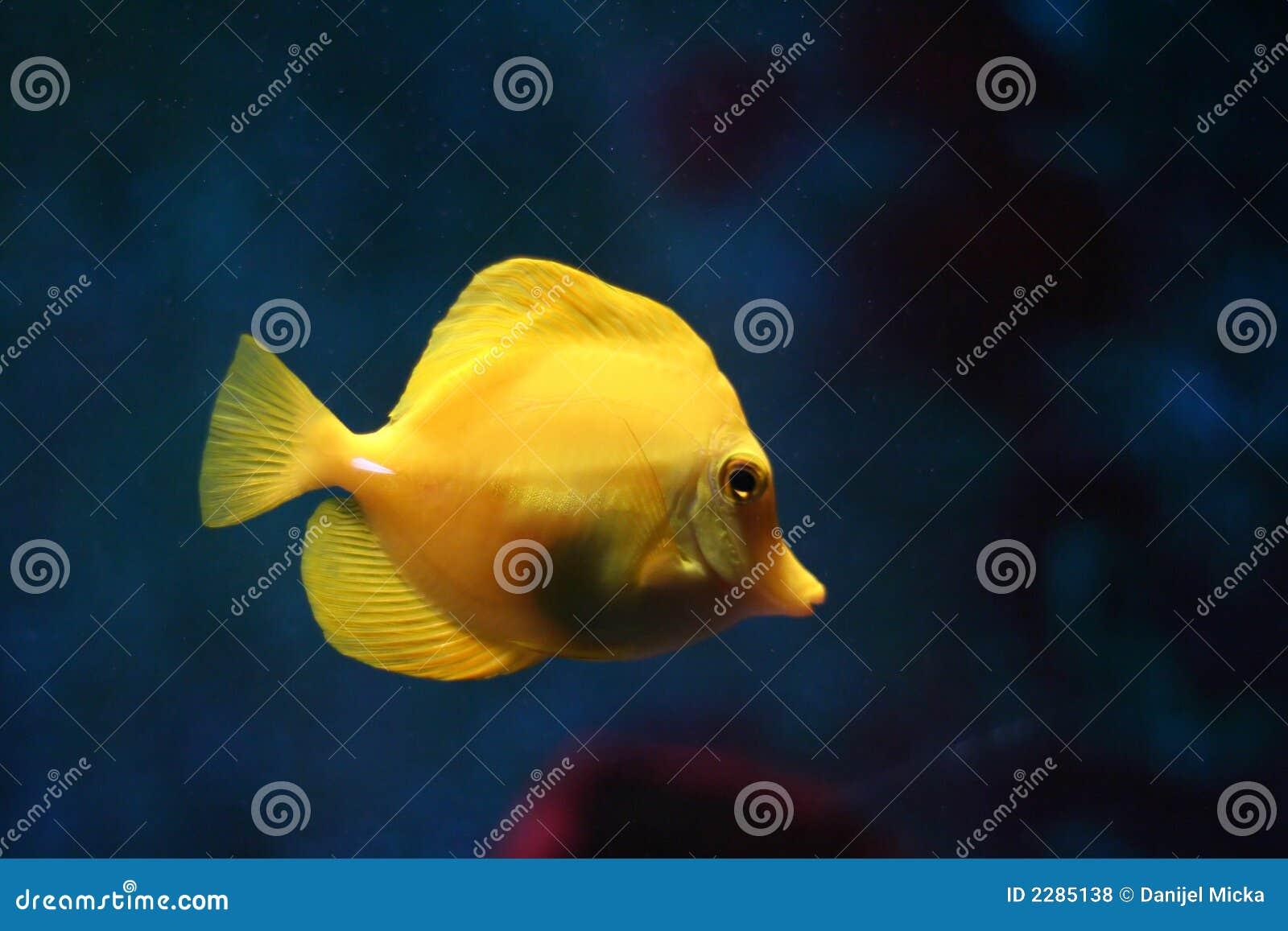 Gele tropische vissen #2