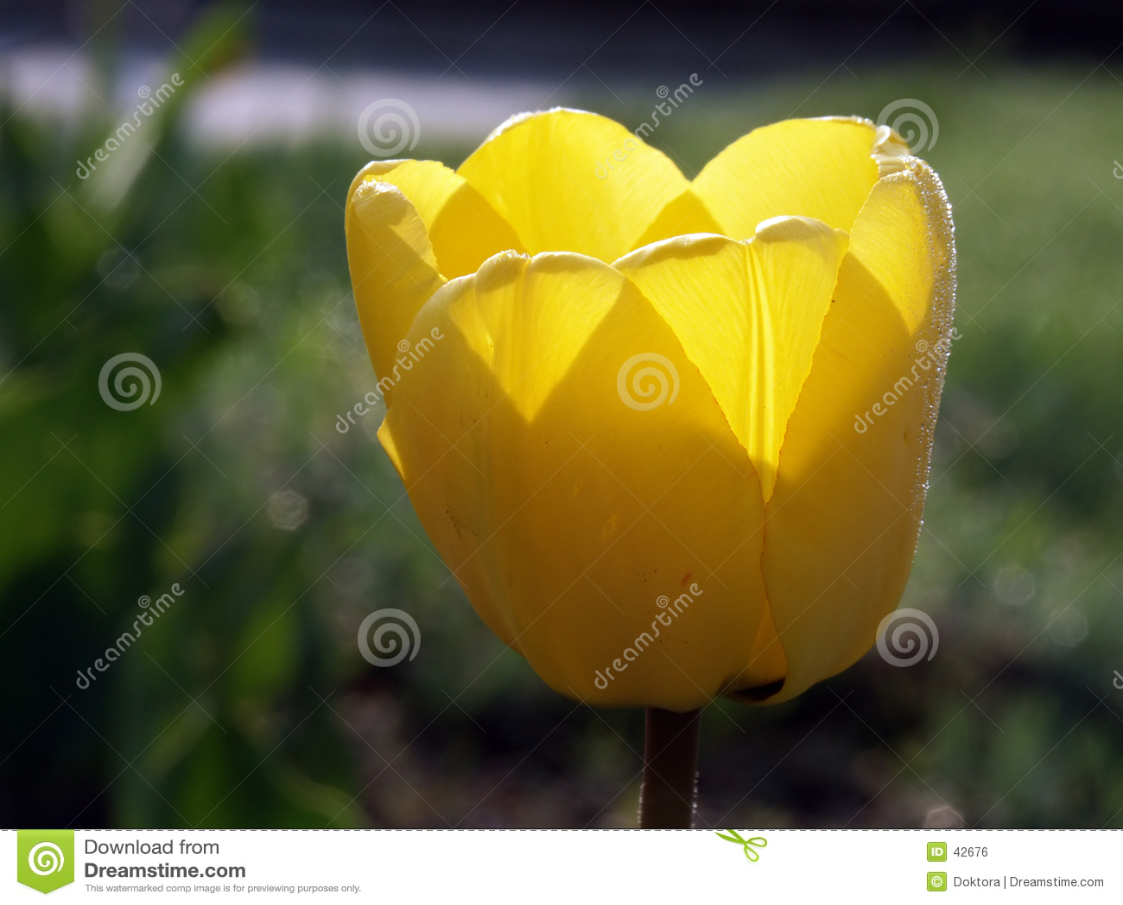 Gele tulp #01