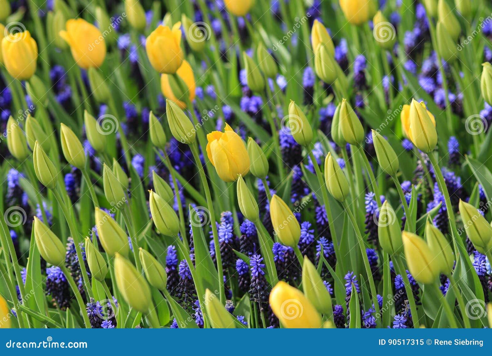 Gele tulpen en blauwe druivenhyacinten op een gebied