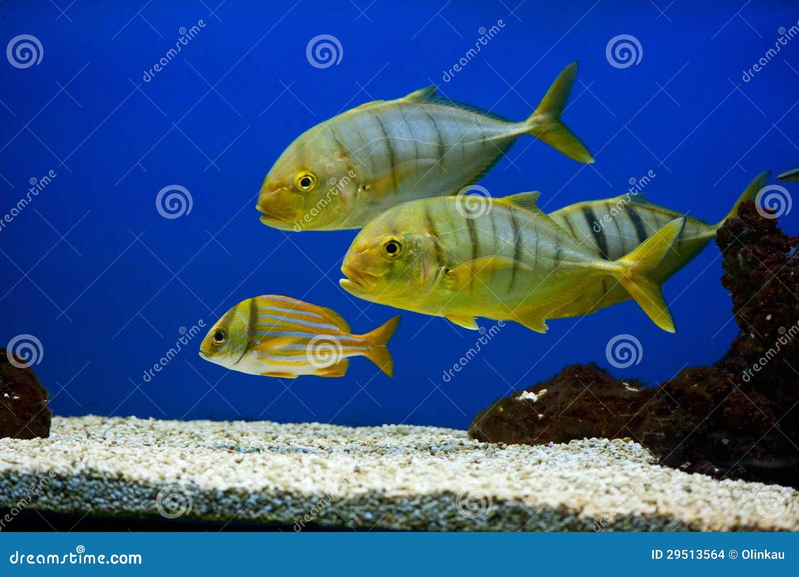 Gele vissen met zwarte strepen