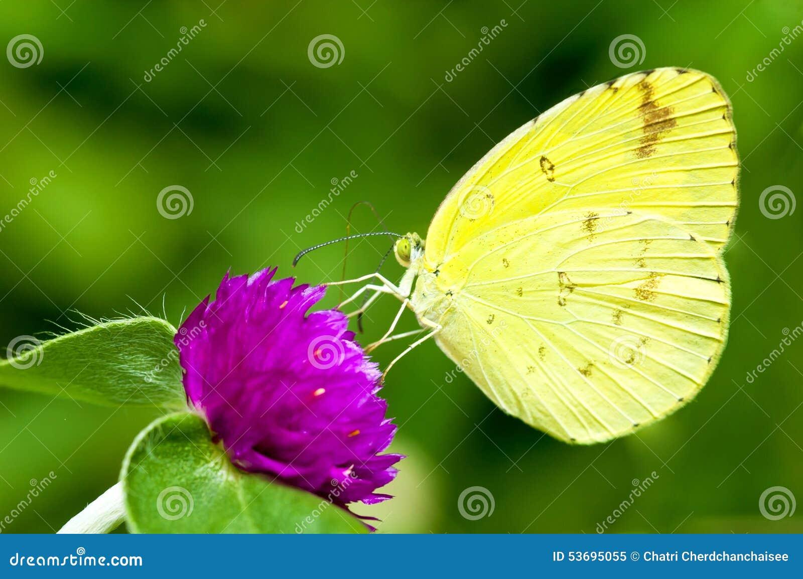 Gele Vlinder op de bloem