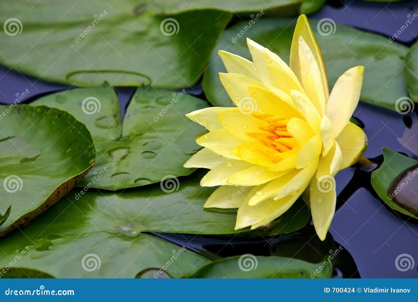 Gele waterlelie
