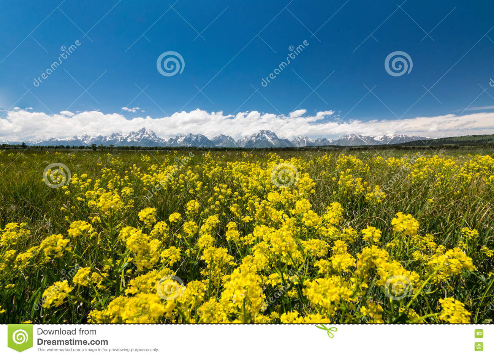 Gele weiden bij het nationale park van Grand Teton