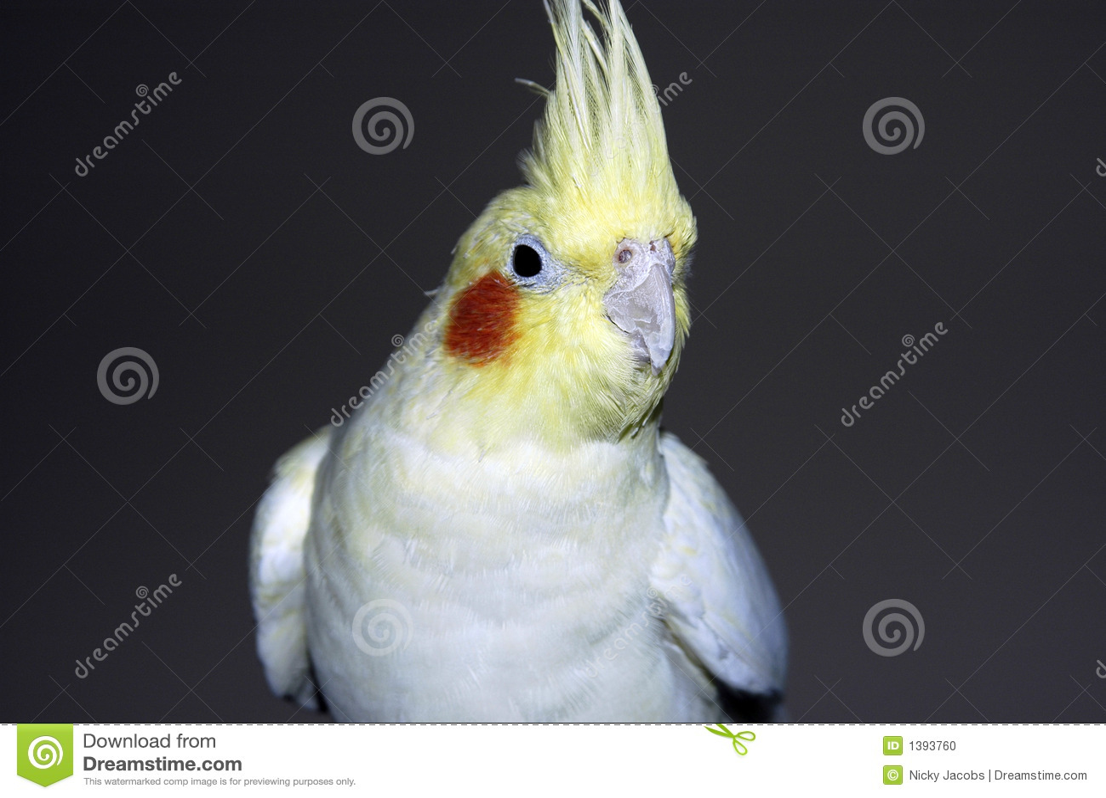 Gele witte cockatiel