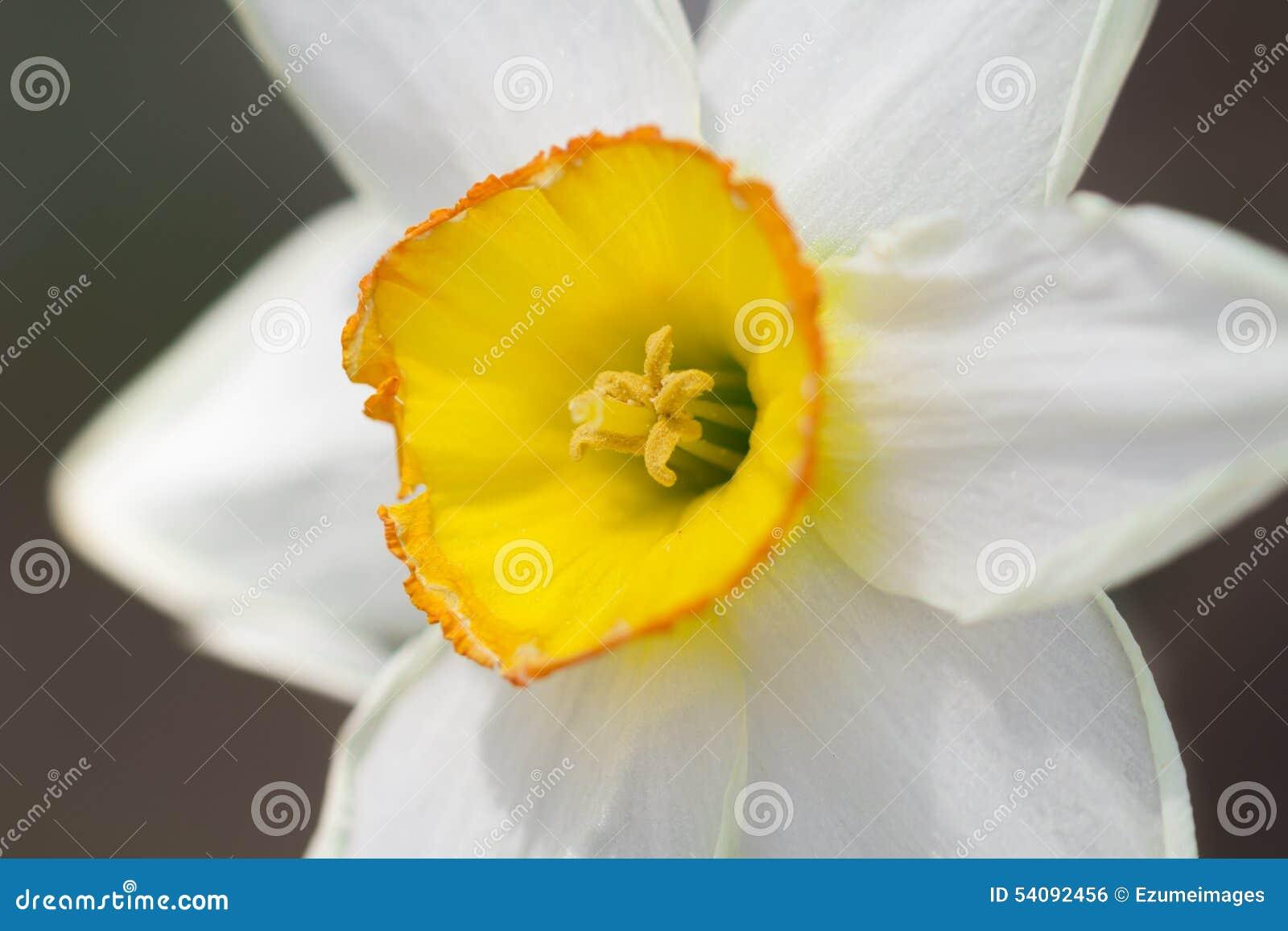 Gele Witte Gele narcis