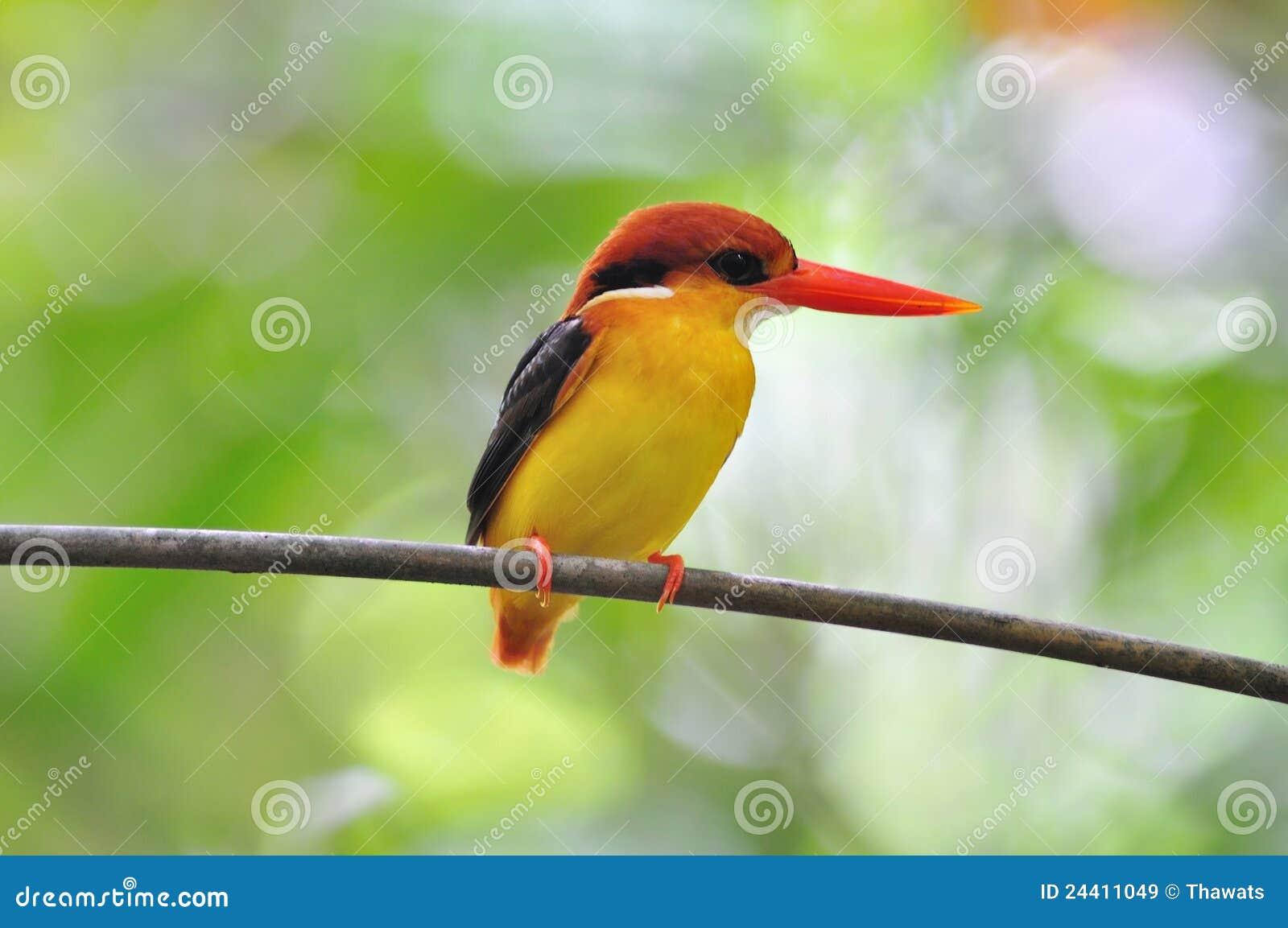 Gele Zwarte En Rode Vogel Ijsvogel Met Zwarte Rug Stock