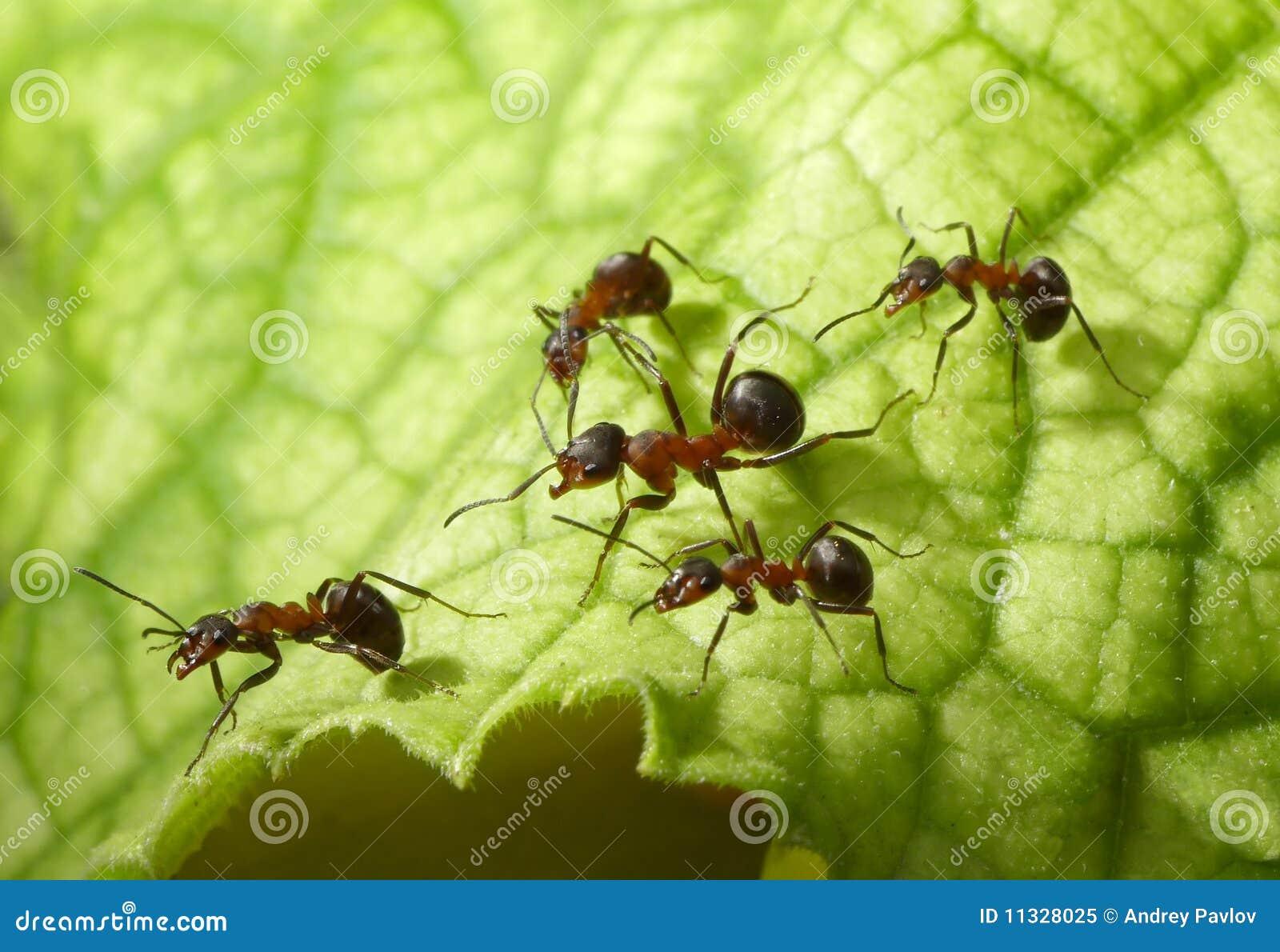 Geleitschutz der Ameisen