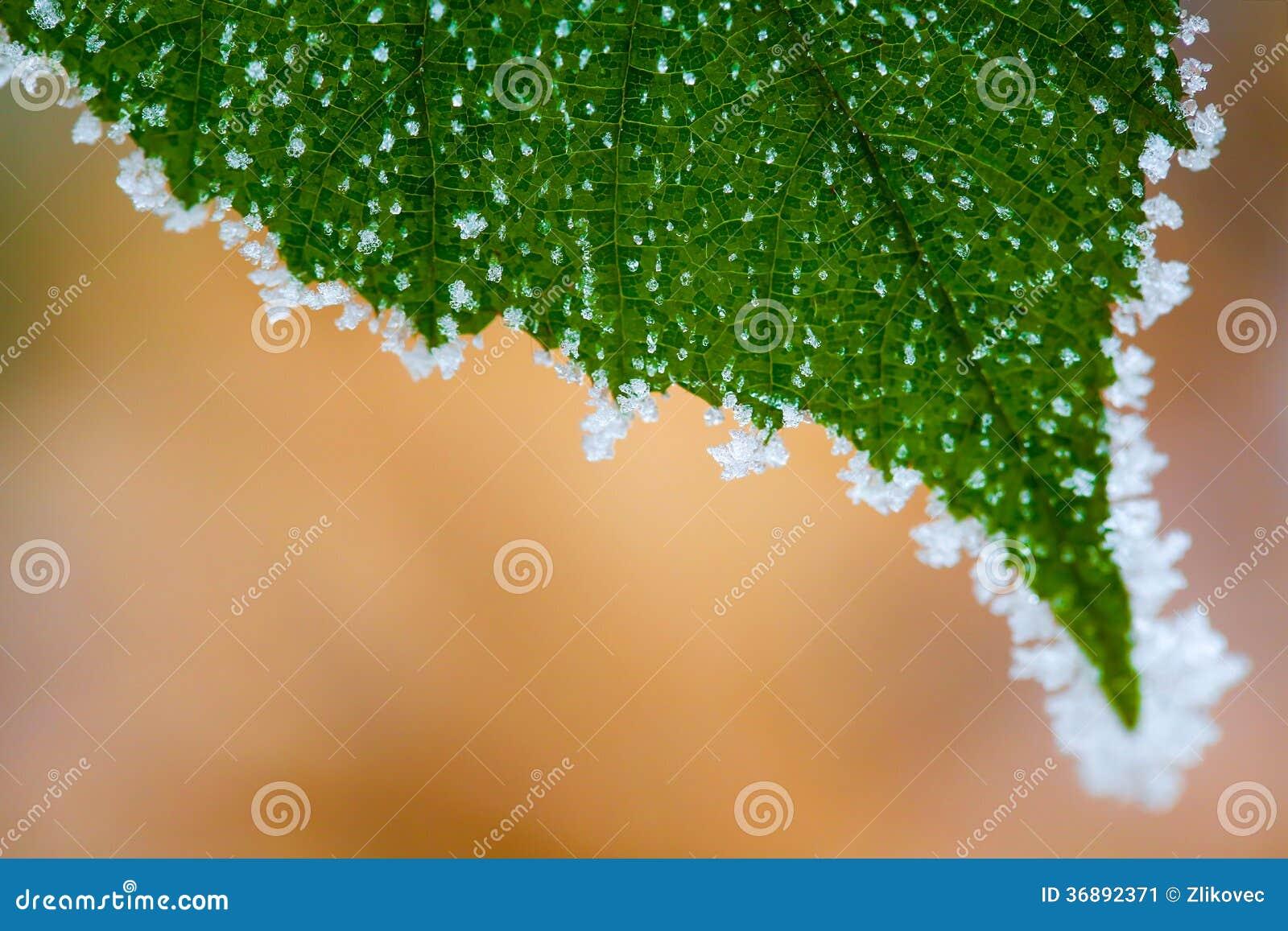 Download Gelo Su Una Foglia Verde Con Fondo Marrone Immagine Stock - Immagine di campo, fine: 36892371