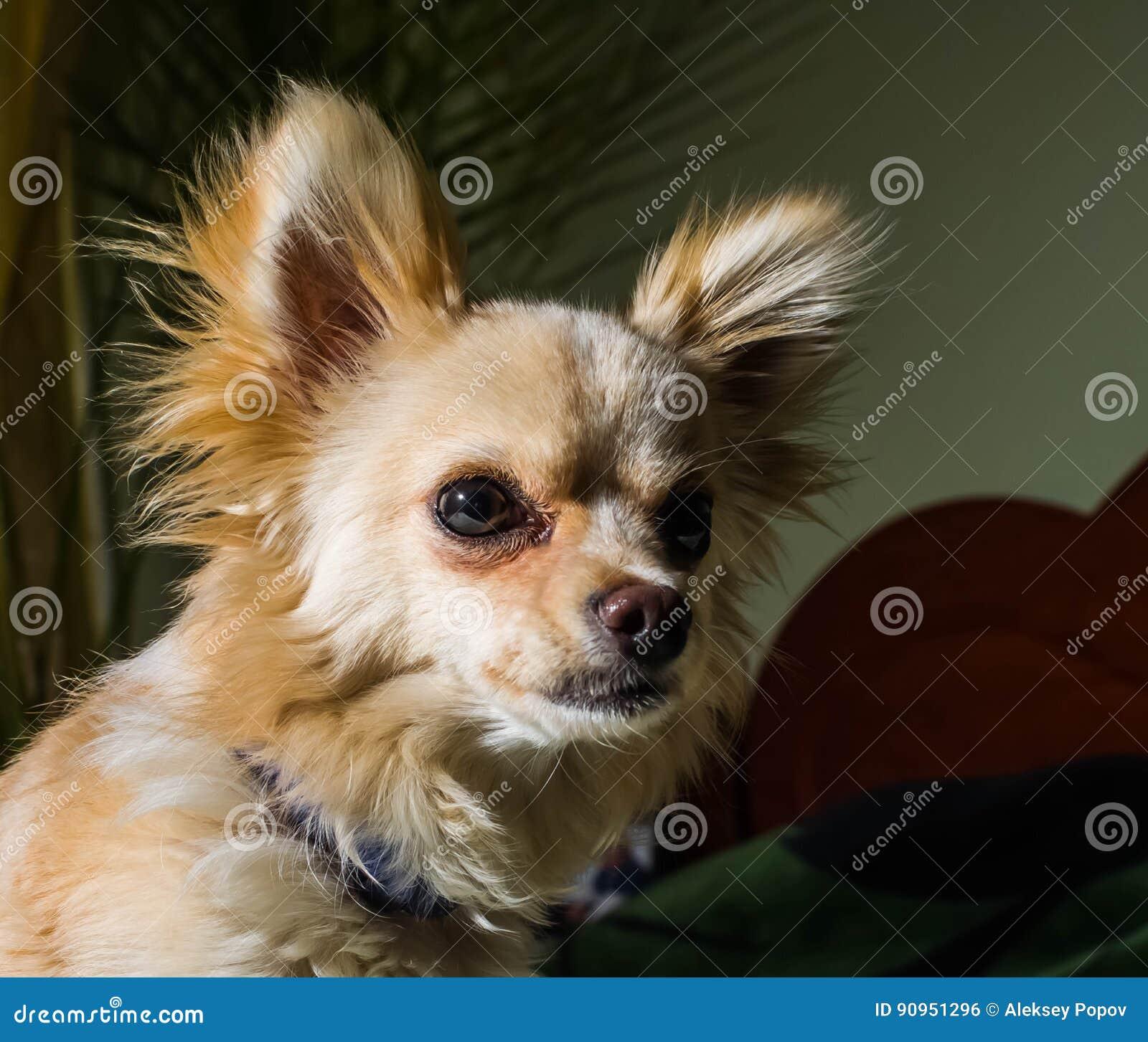 Gelukkige Chihuahua honds, vrolijk, binnenlands, geluk, het ontschorsen, carnivoor, besnoeiing, gelukkig