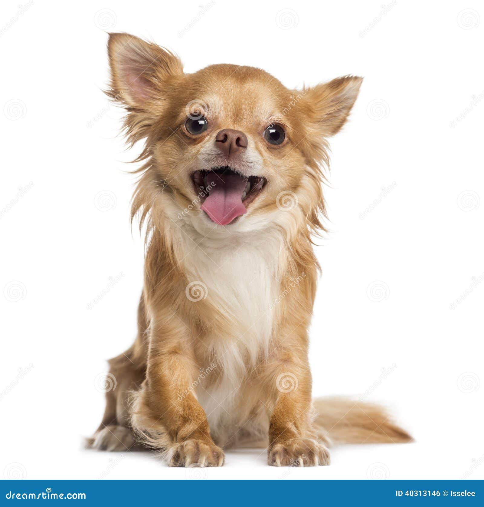 Gelukkige Chihuahua (4 jaar oud)