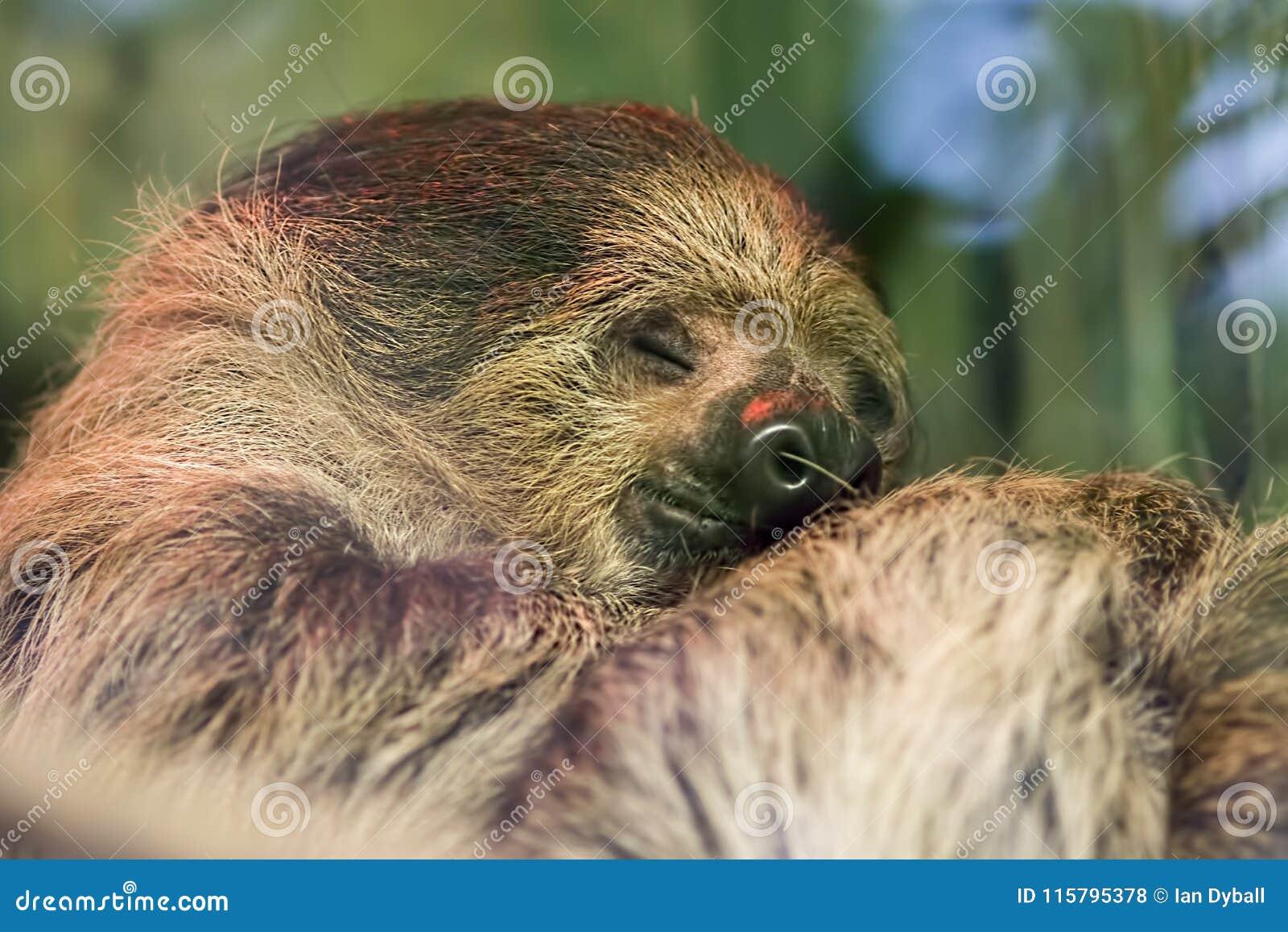 Gelukkige droom Zacht dromerig beeld van leuke luiaard dierlijke slaap
