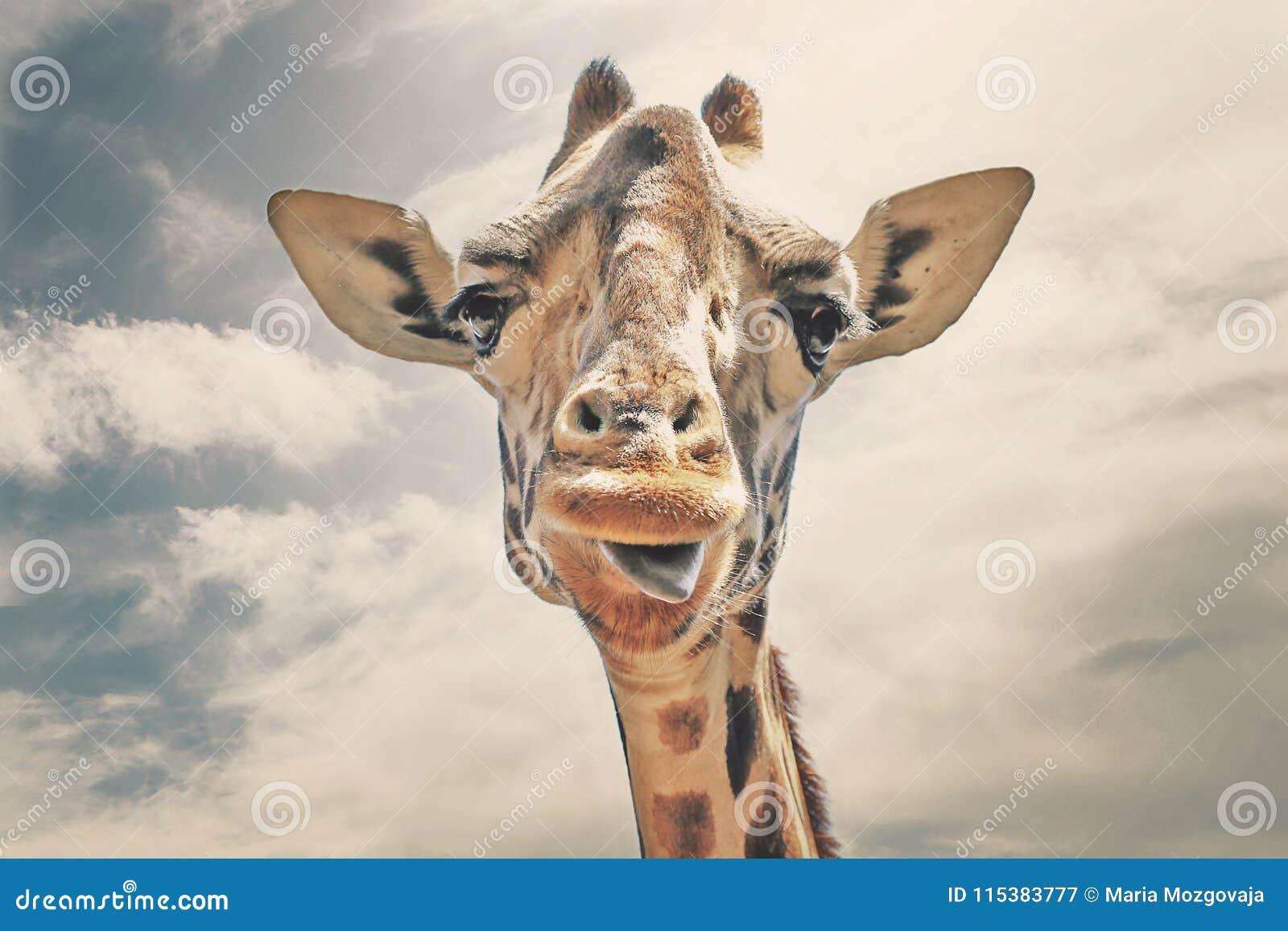 Gelukkige giraf die zijn tong uit plakken