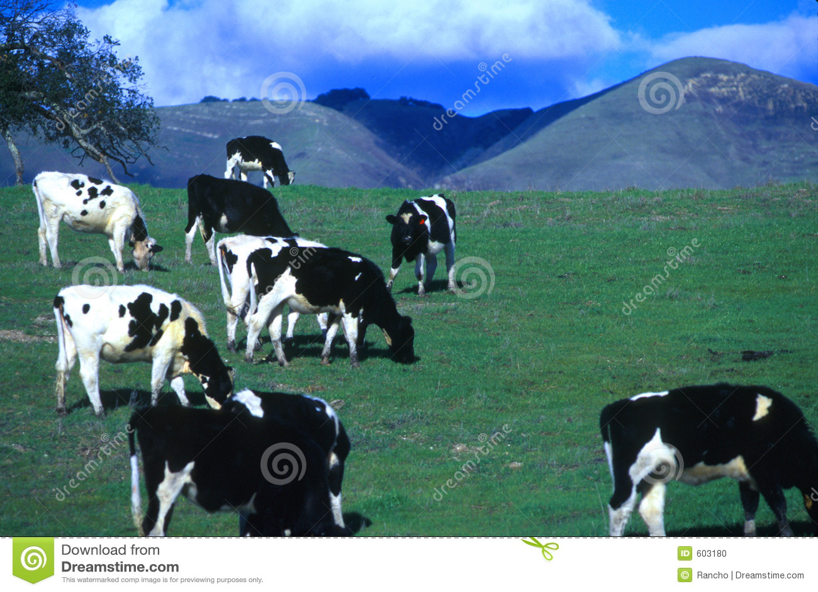 Gelukkige koeien Califorina!