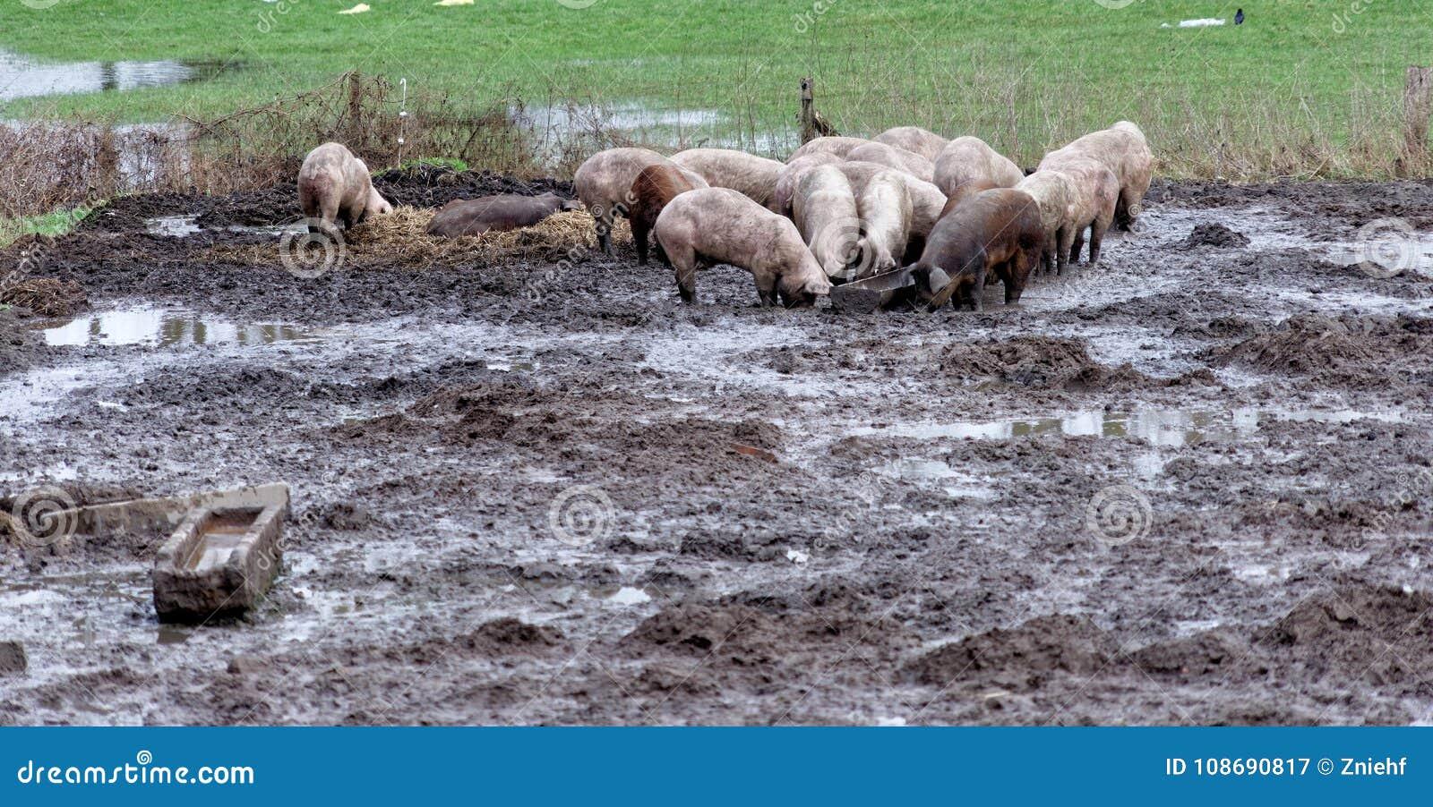 Gelukkige varkens op een organisch landbouwbedrijf in de modder, het vrije lopen en zonder smalle stabiel, organisch waardevol en