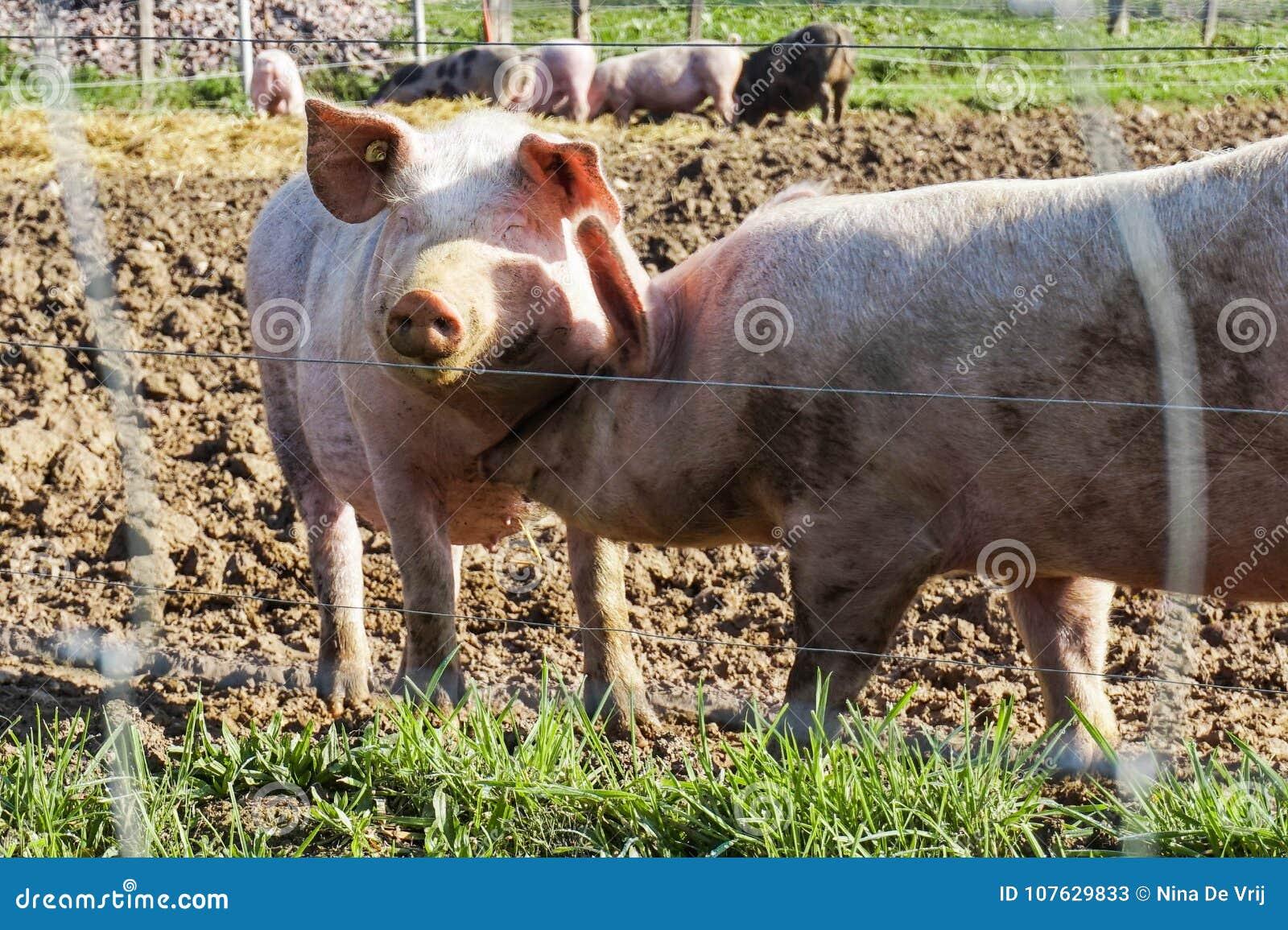 Gelukkige Vrije Waaiervarkens met Modder en Gras: Het kussen het Glimlachen Piggy