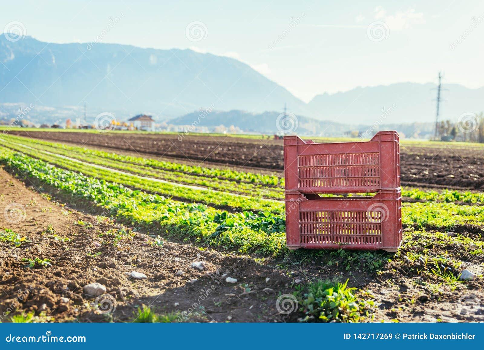 Gemüsekasten auf Landwirtschaftsfeld