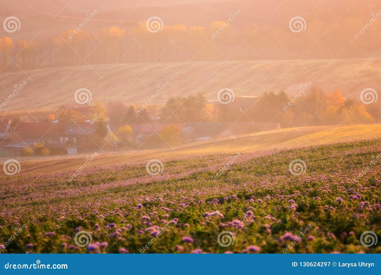 Gemütliche Regelung umgeben durch sonnige landwirtschaftliche Felder, purpurrote phacelia Blumen, schöne Landschaftslandschaft im