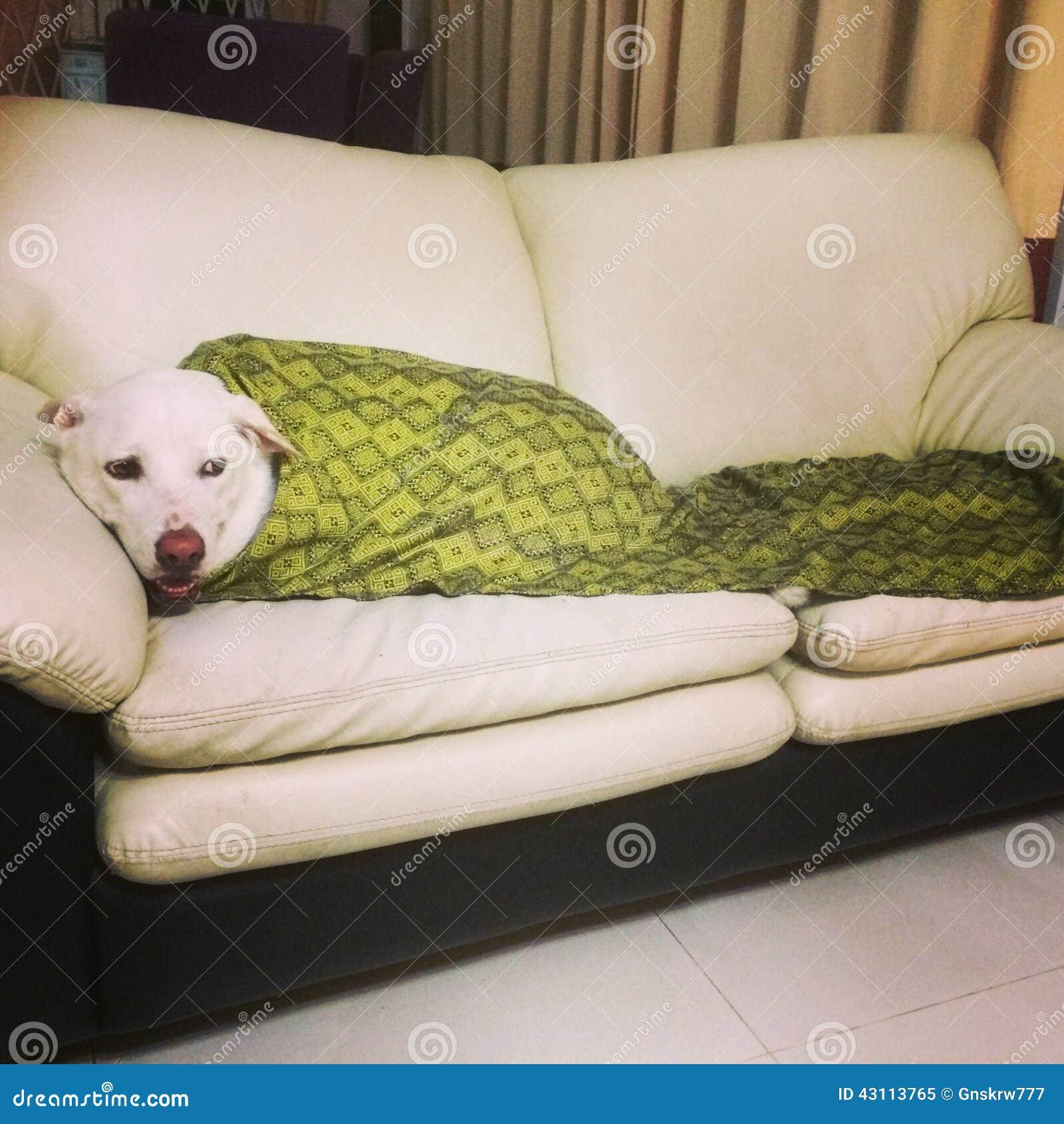 Gem Tlicher Hund Auf Einem Sofa Stockfoto Bild 43113765